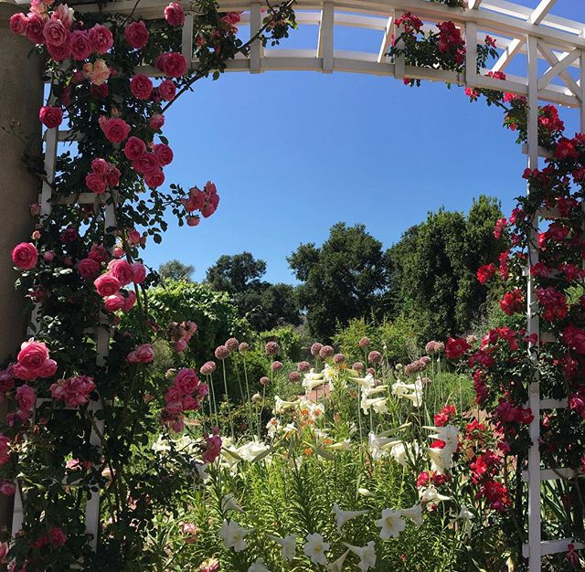The serene and glorious rose garden at Huntington #UntetheredLA #huntingtonlibrary #huntingtongardens