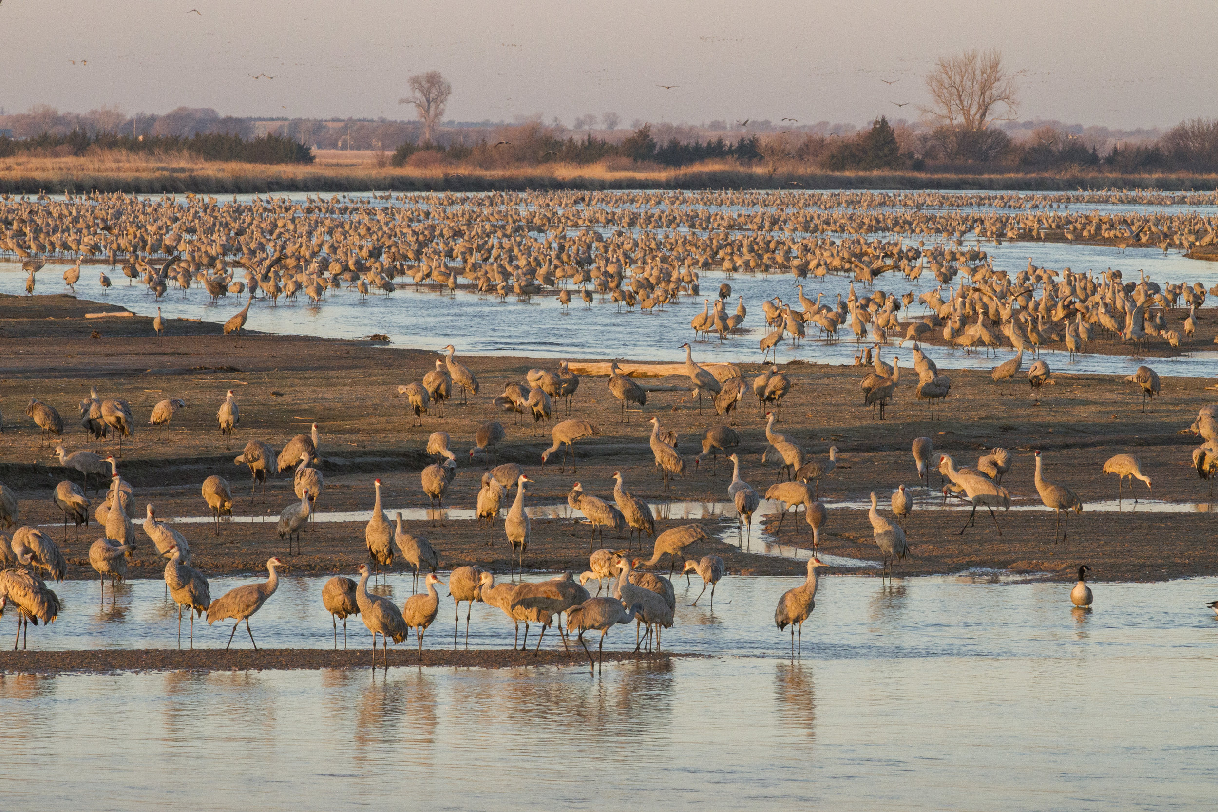 Crane migration on Mormon Island. Photo by: Ben Gottesman, Center for Global Soundscapes*