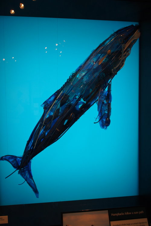 Another of the Monterey Bay Aquarium displays depicts a giant blue whale - also made of waste plastics.