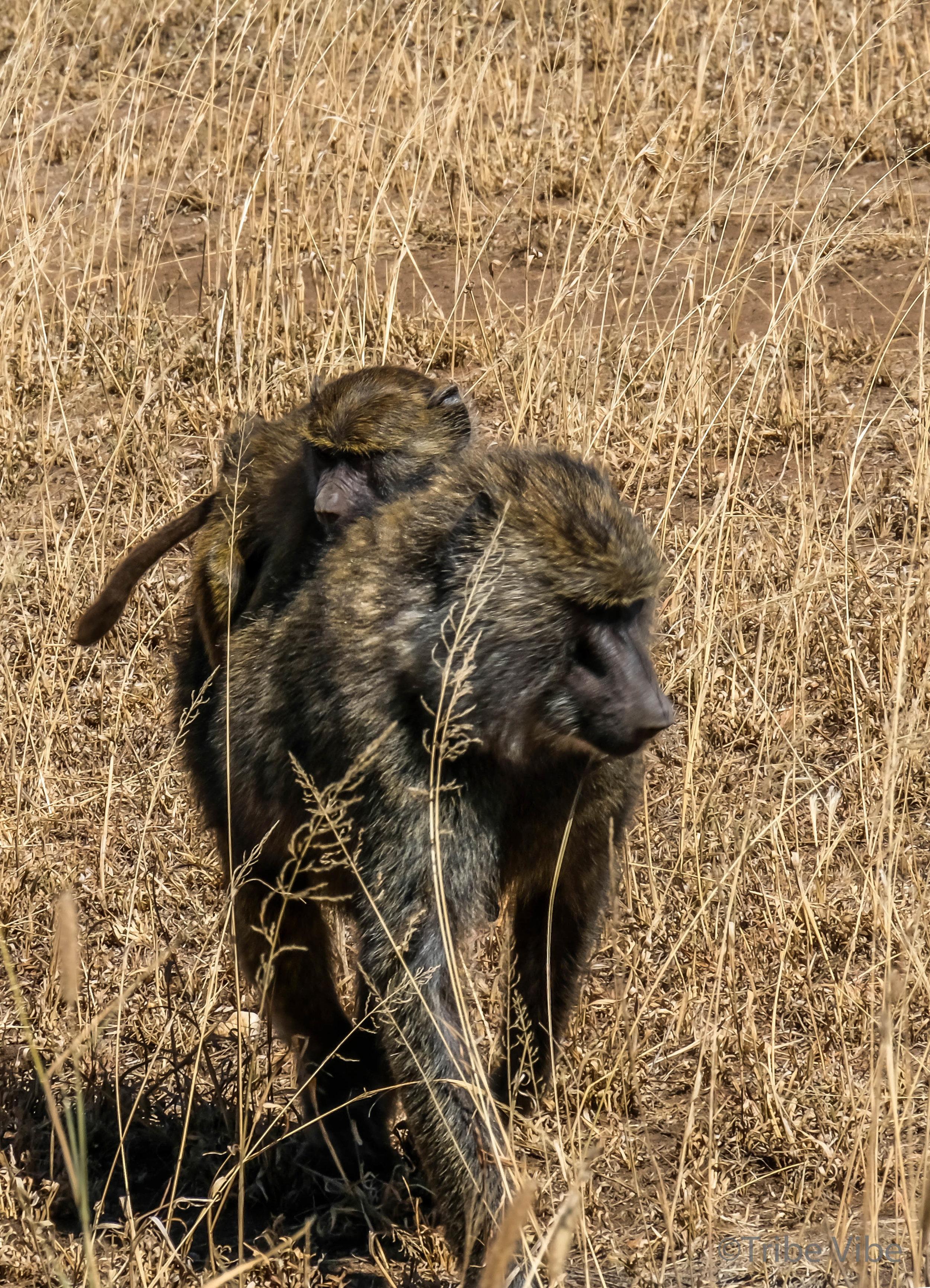 baboon-2.jpg
