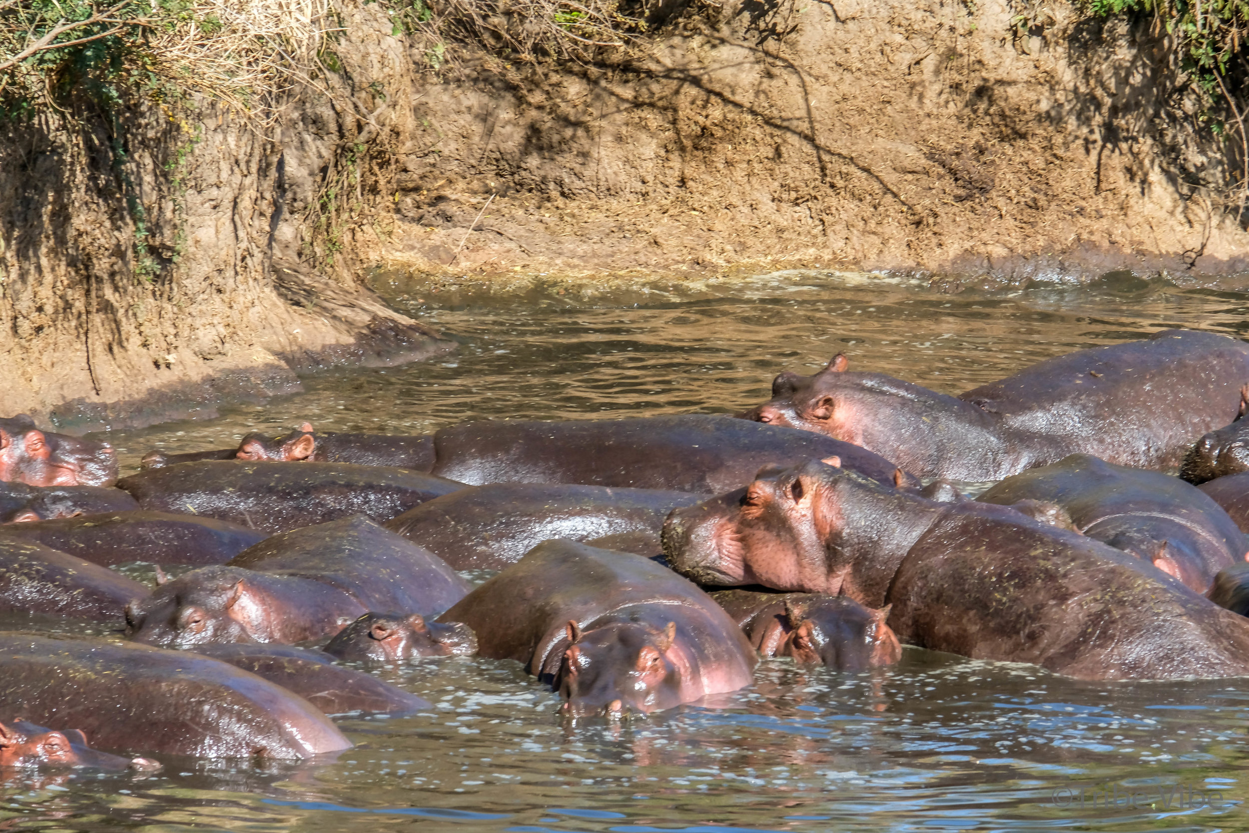 hippos-5.jpg