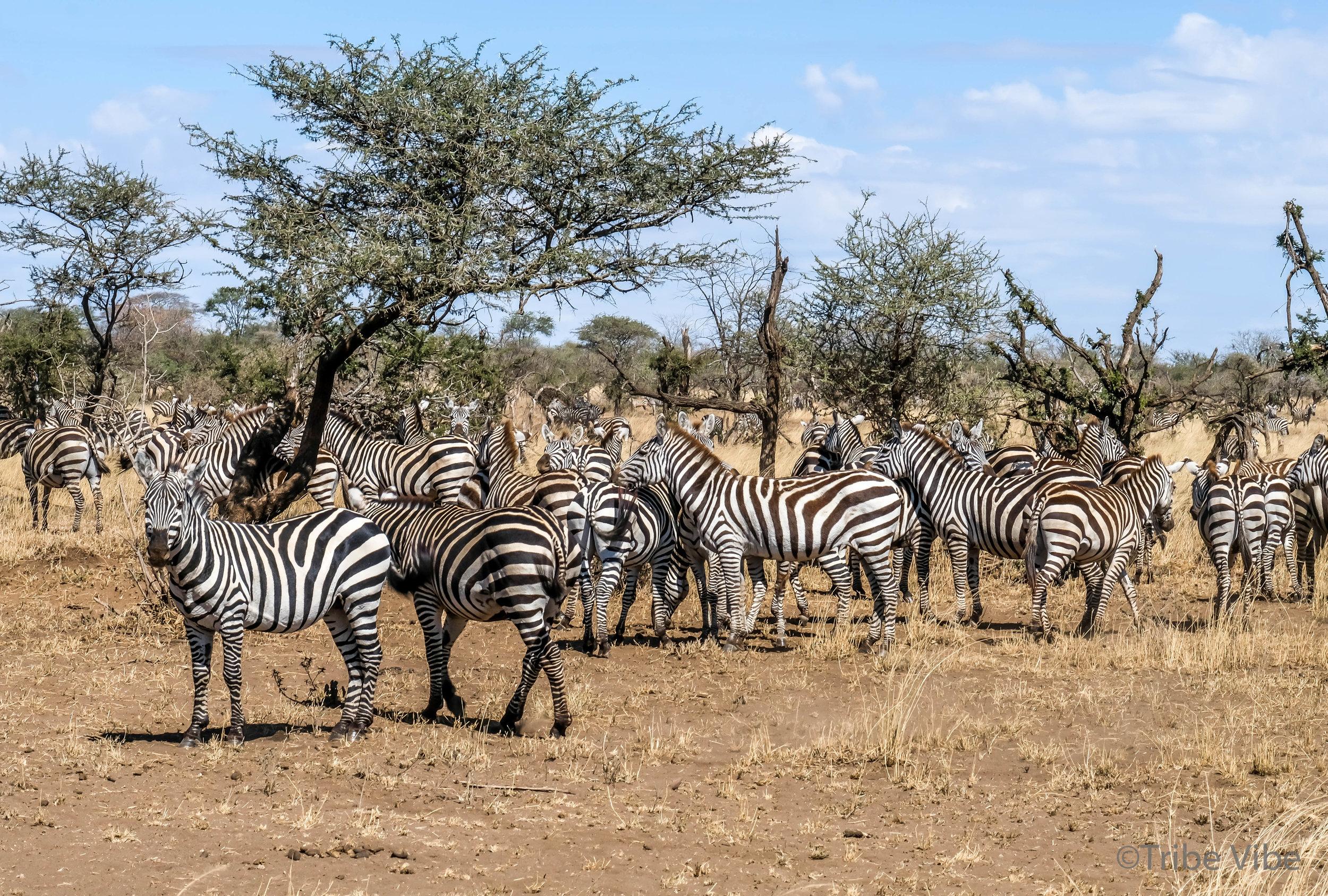zebras-8.jpg