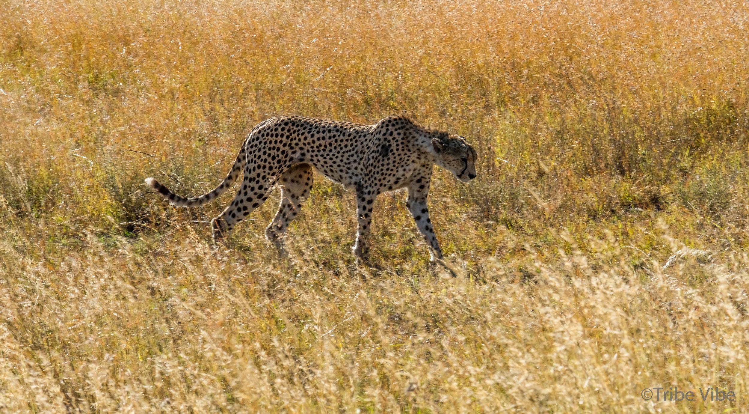 cheetah-16.jpg
