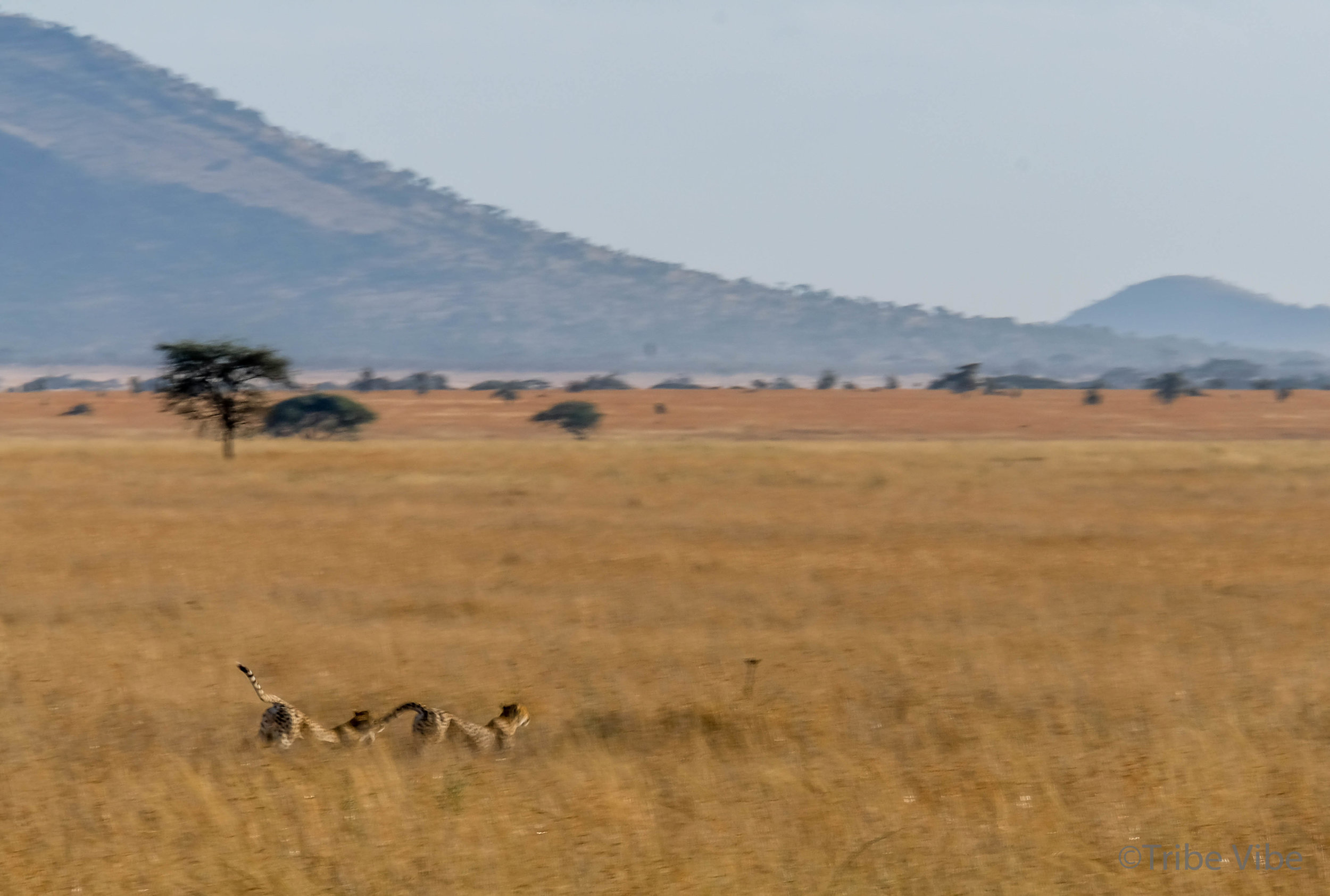 cheetah-10.jpg