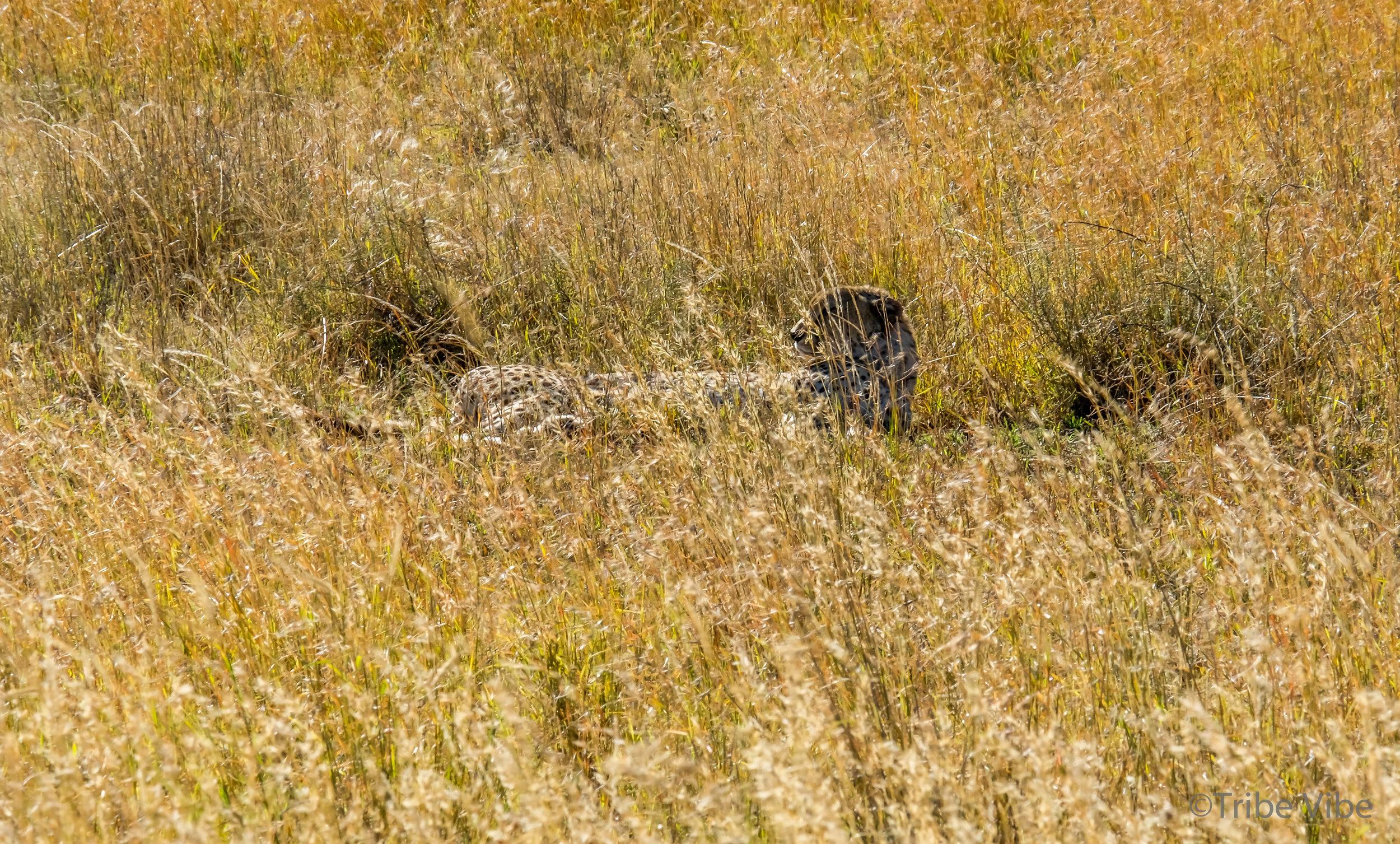 cheetah-12.jpg