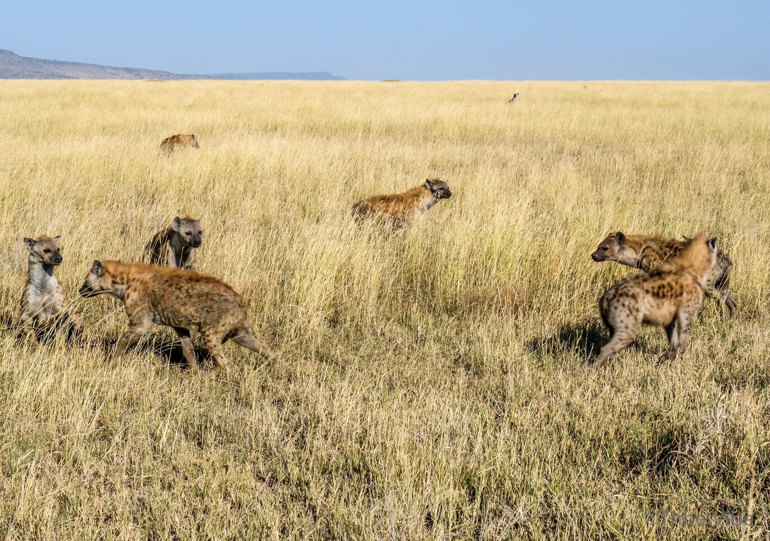 hyena-15.jpg
