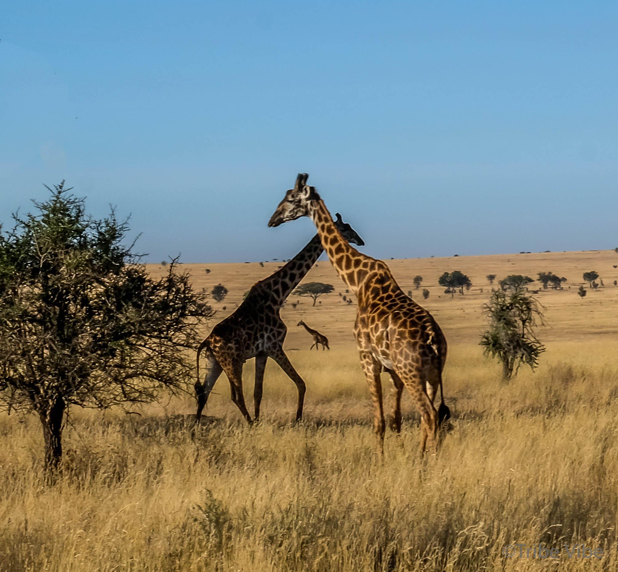 giraffe-18.jpg
