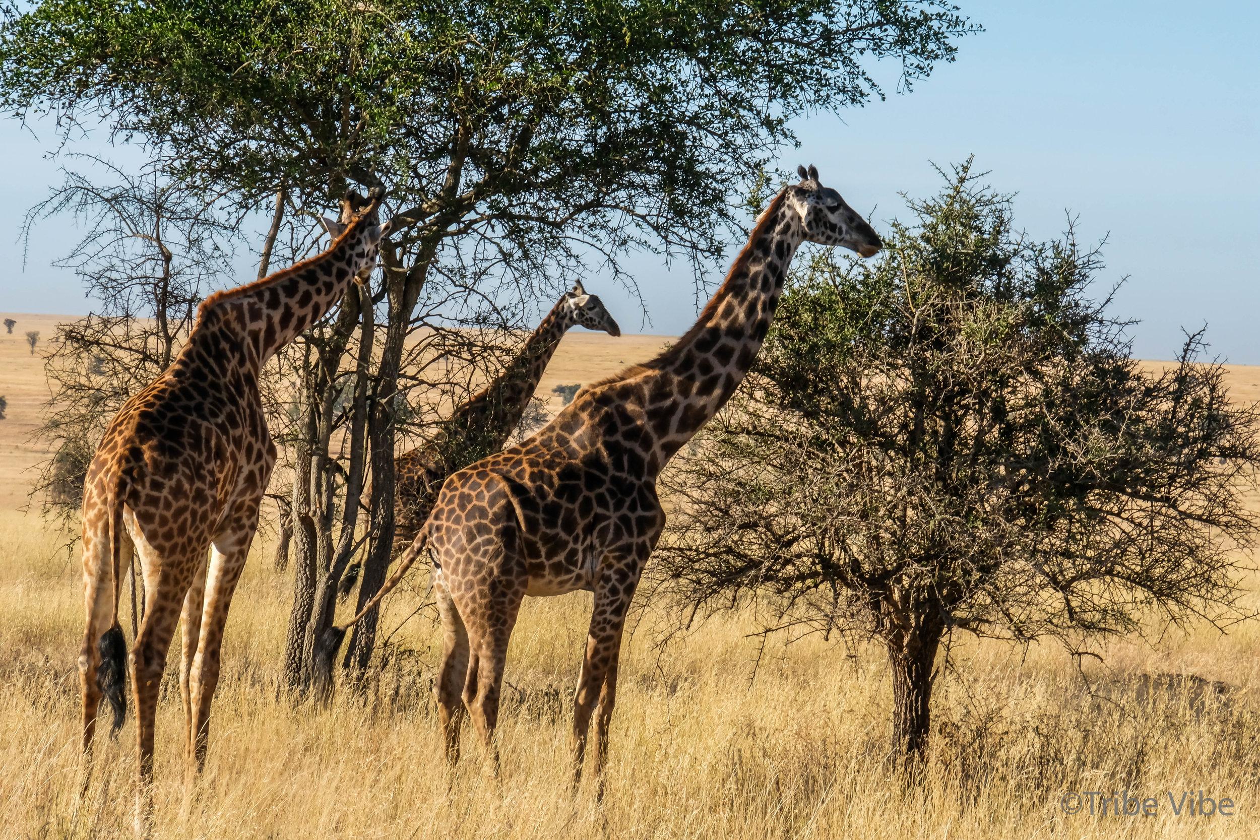 giraffe-8.jpg