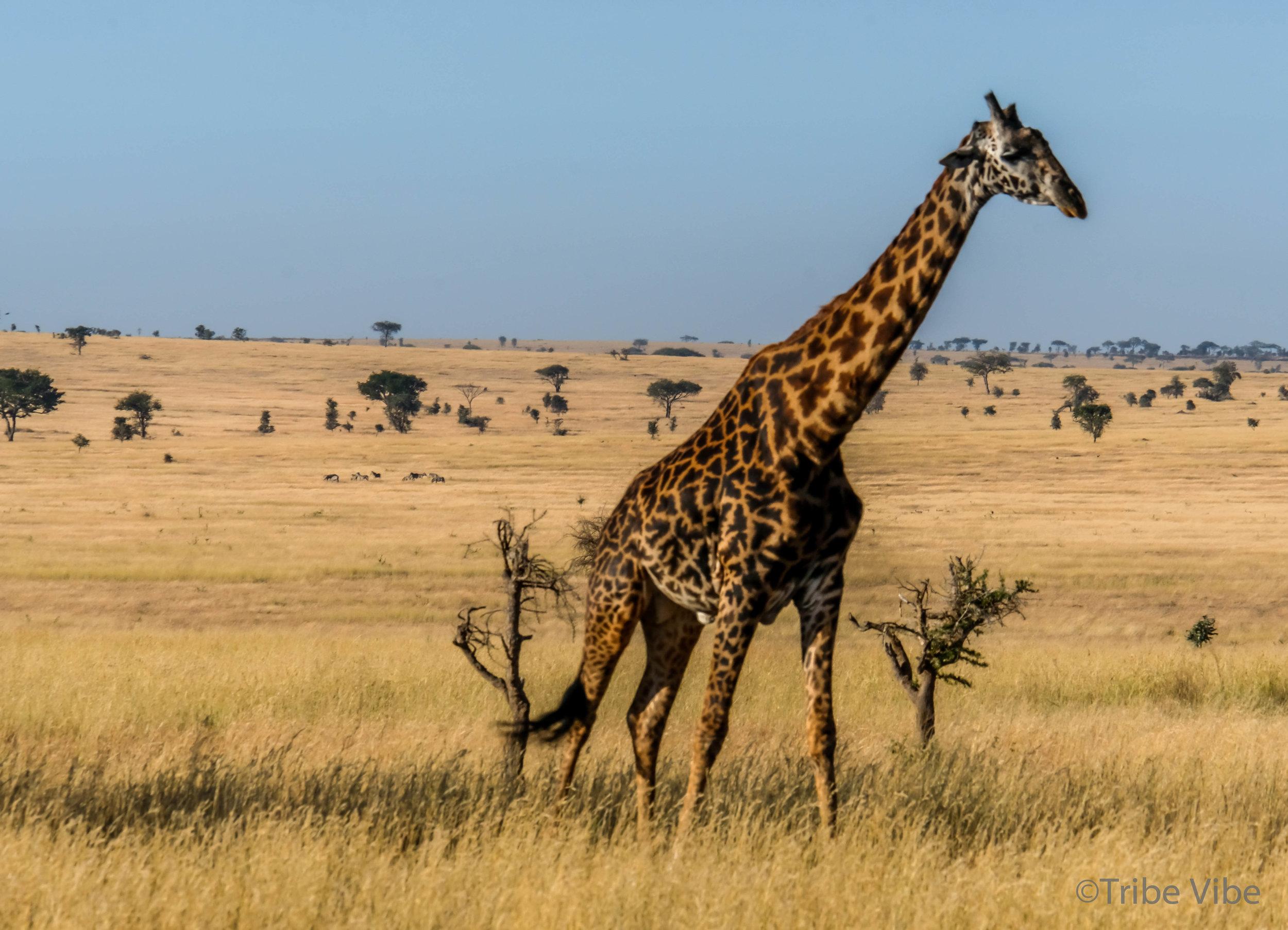giraffe-12.jpg