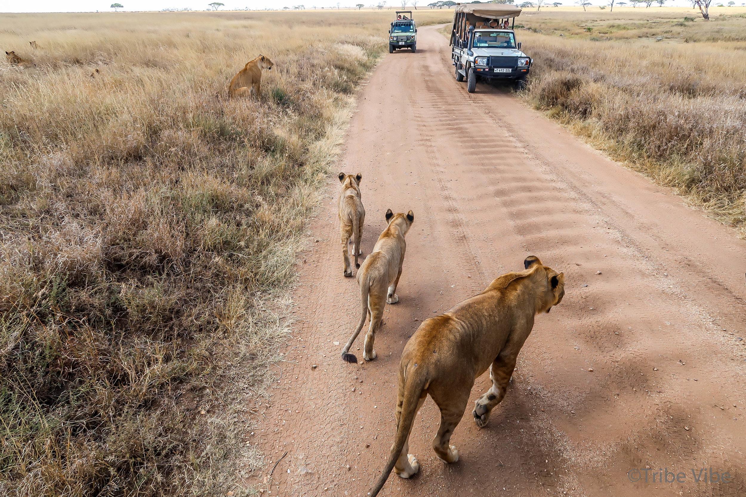 lions-3.jpg