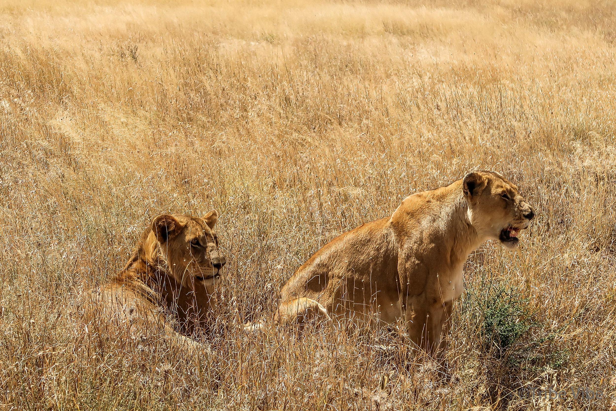 lions-4.jpg