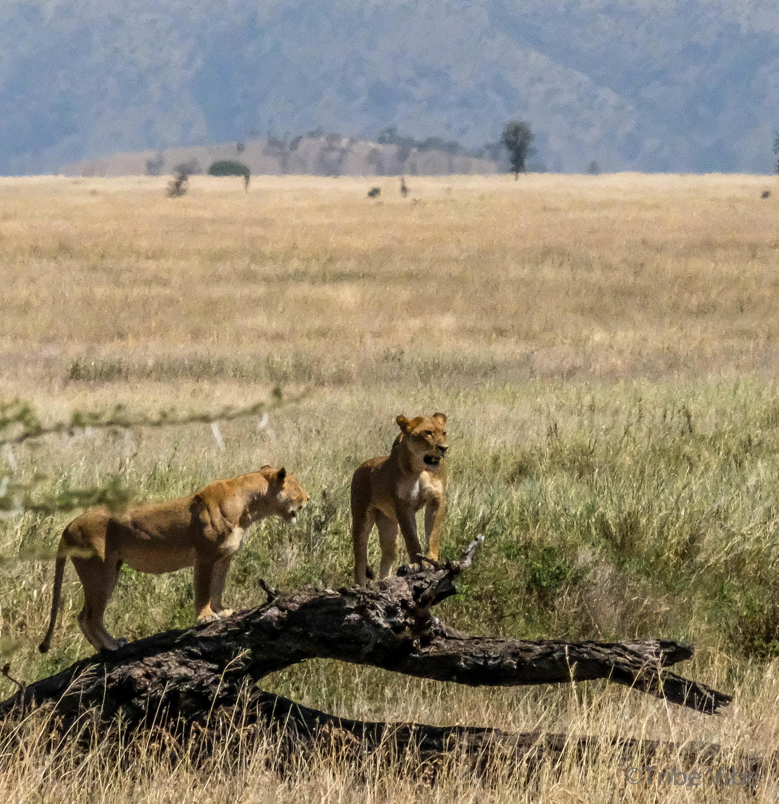 lions-6.jpg