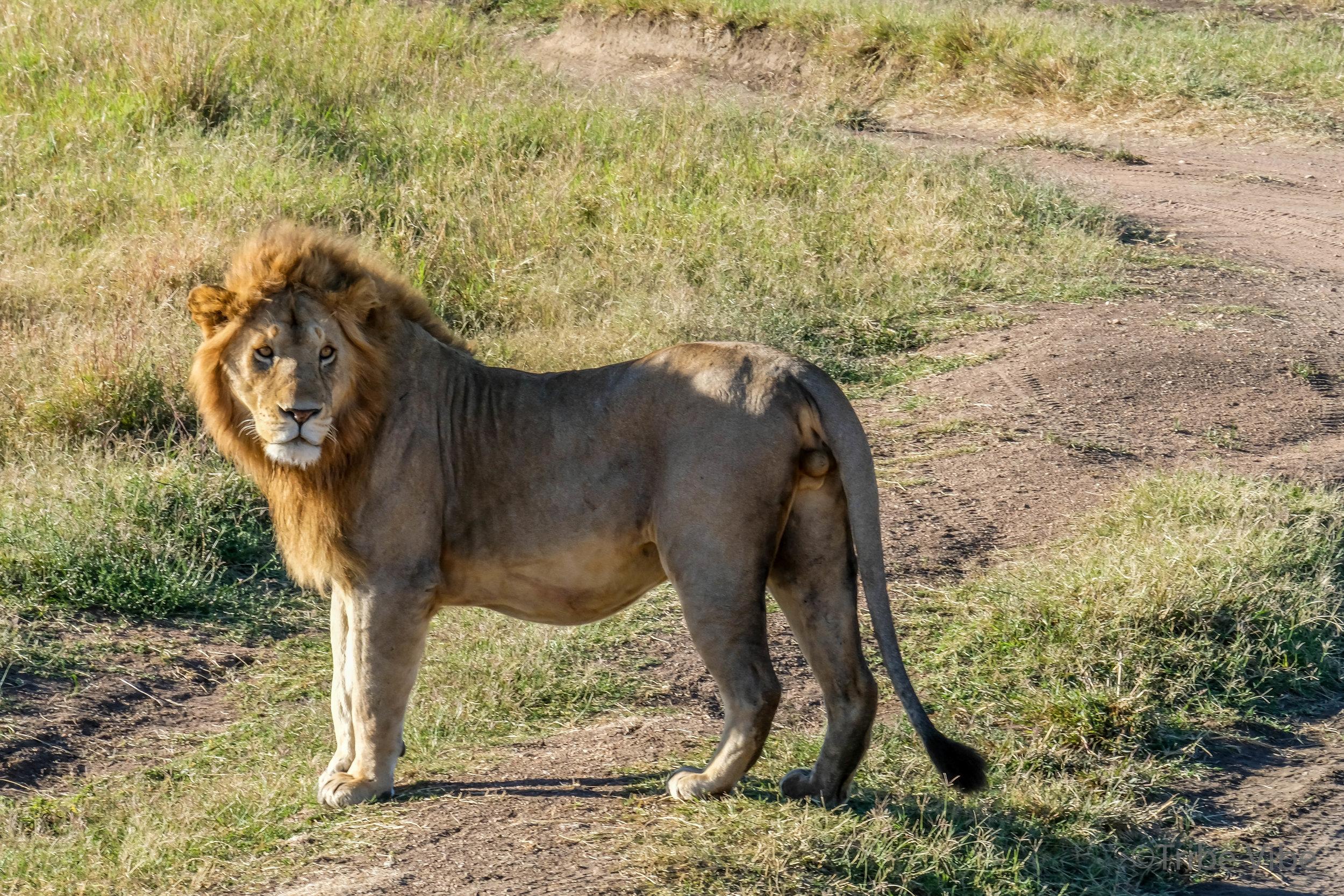 lions-25.jpg