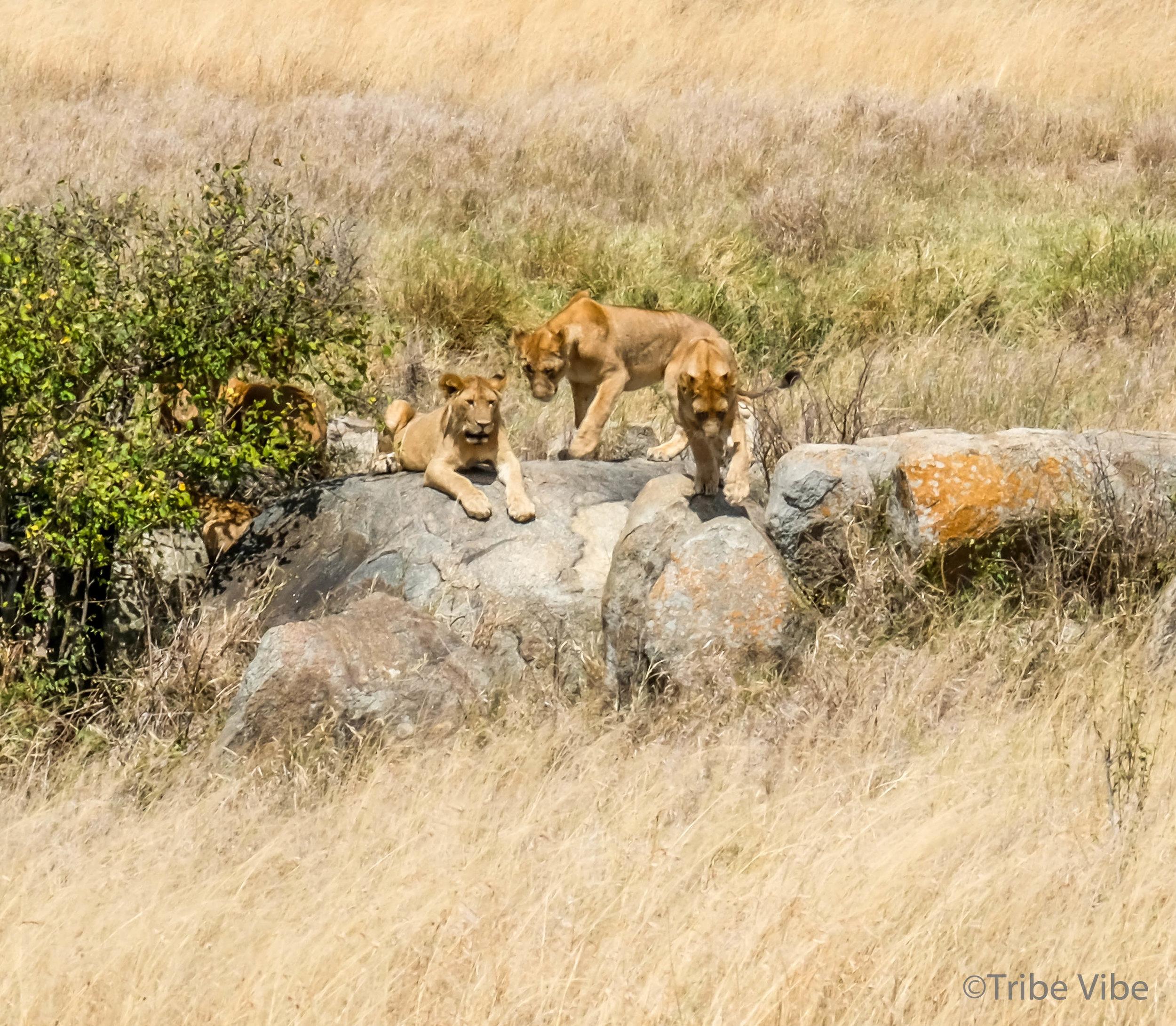 lions-29.jpg