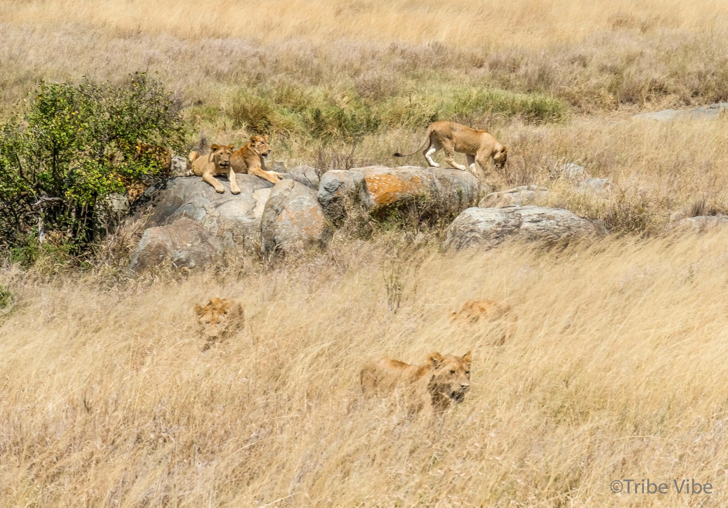 lions-34.jpg