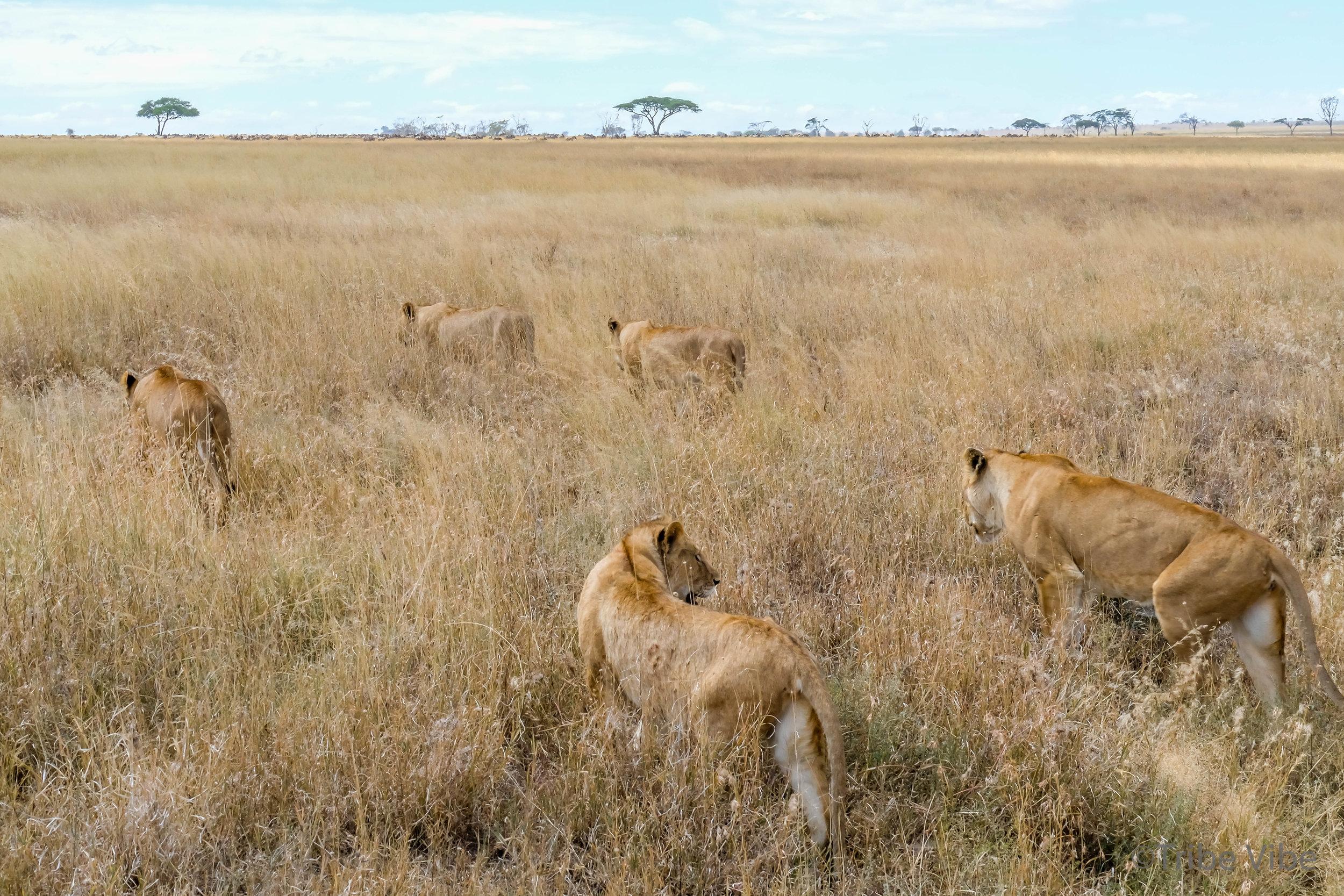lions-38.jpg