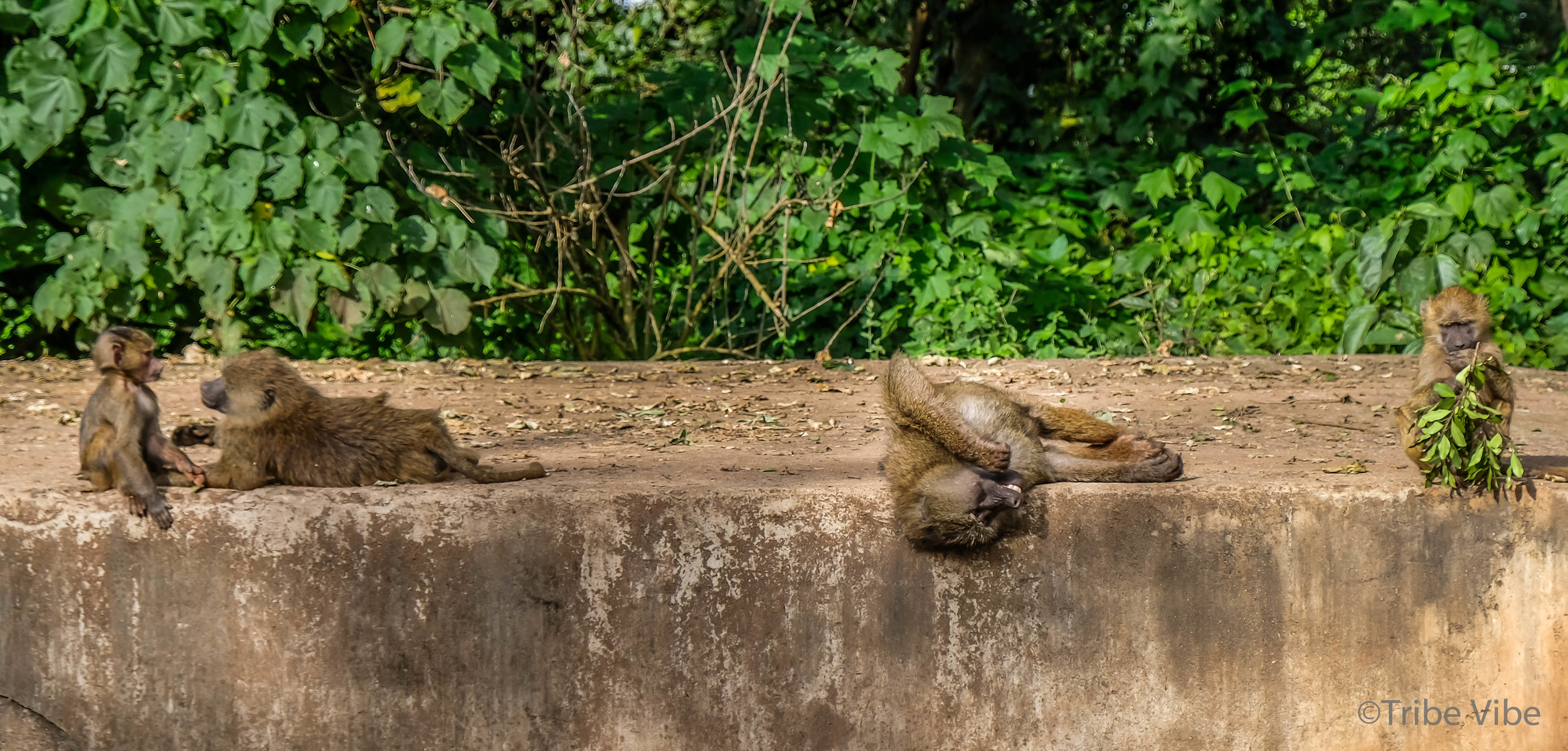 Baboons being lazy by the side of the road in the Ngorongoro Crater.