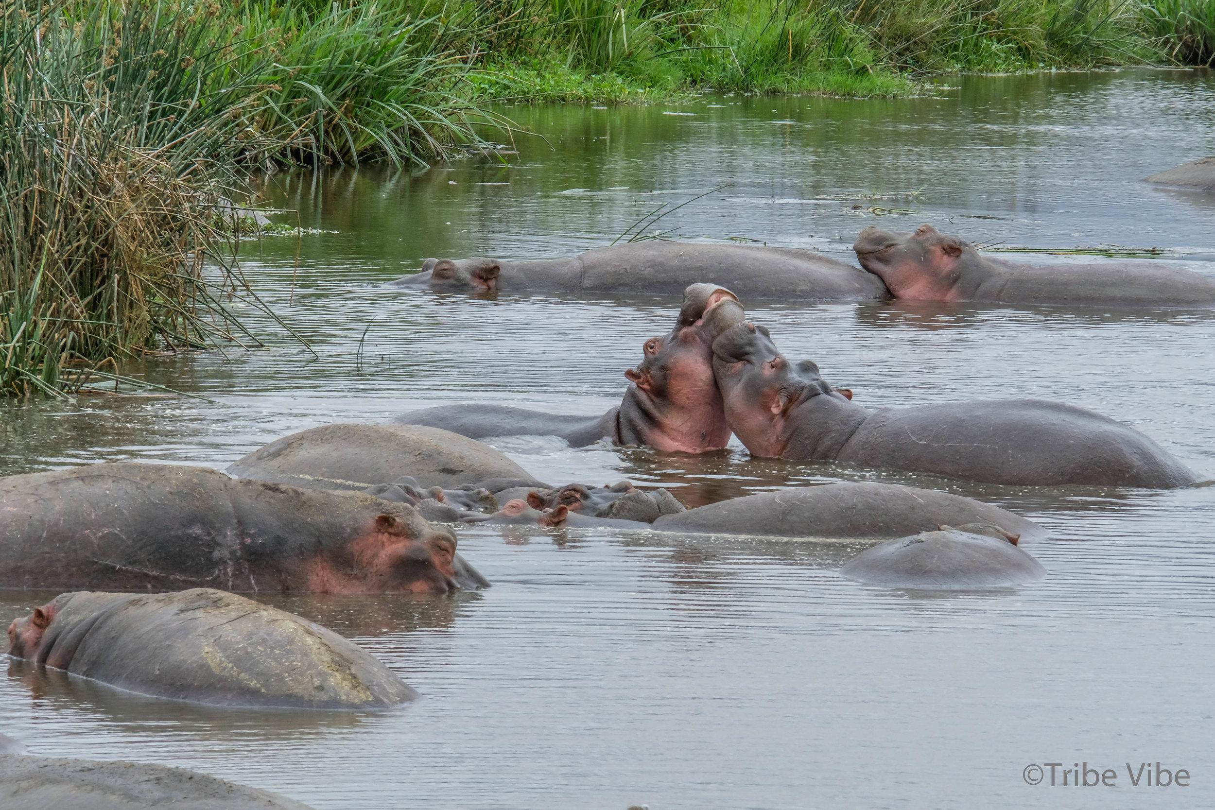 hippos4.jpg