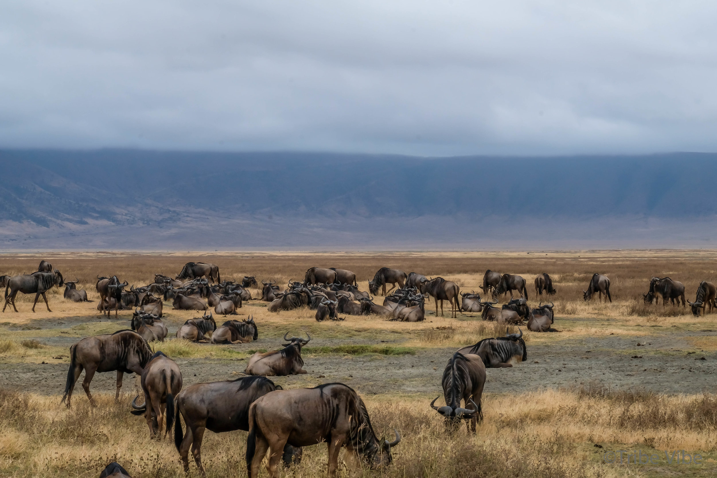 wildebeest12.jpg
