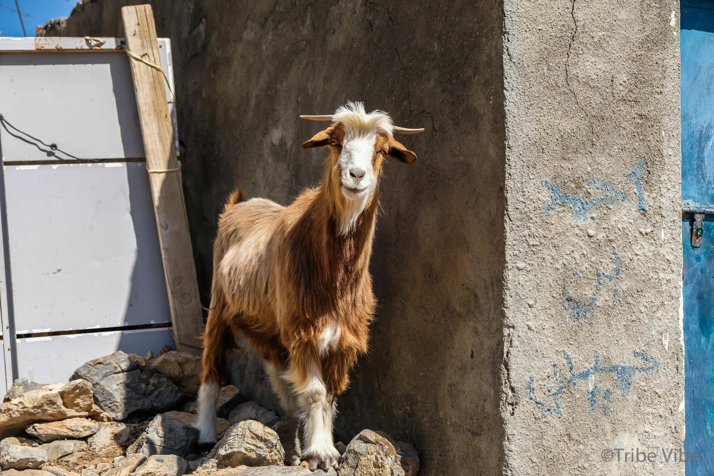 goats4.jpg