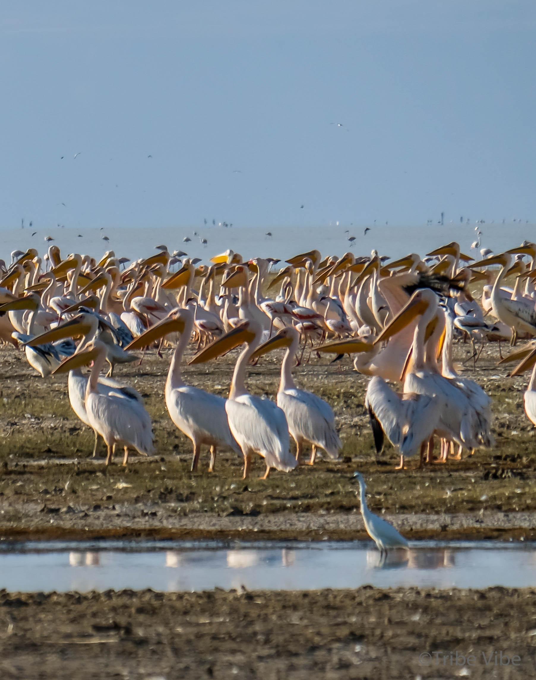 Lake Manyara birds, Tanzania9.jpg