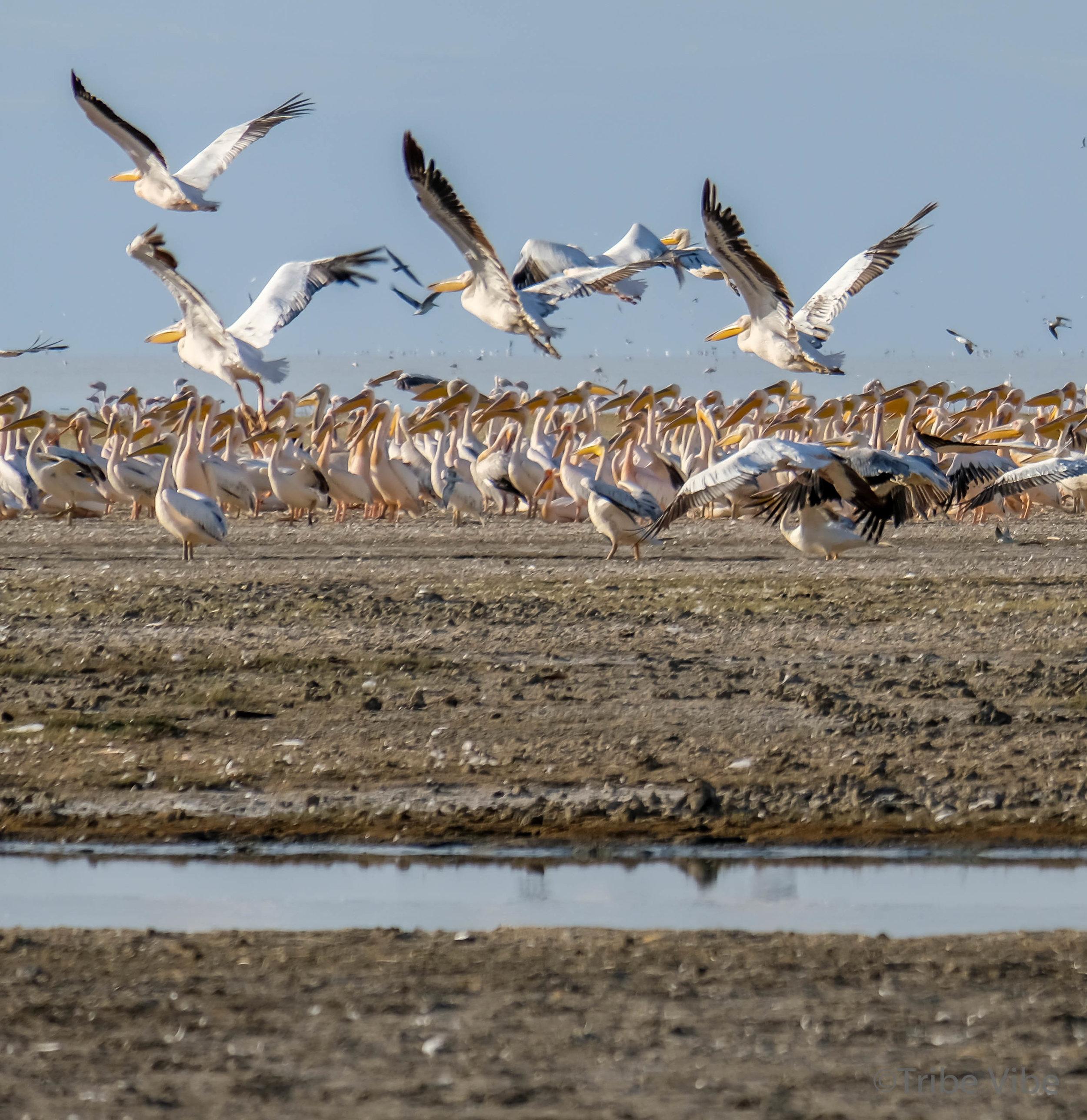 Lake Manyara birds, Tanzania14.jpg