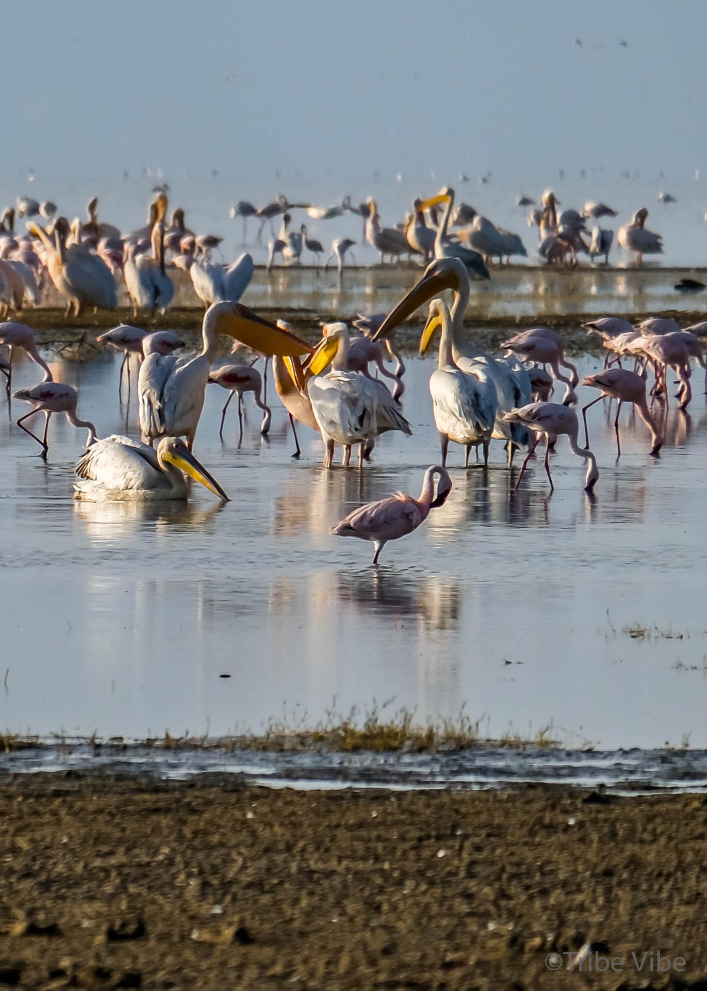 Lake Manyara birds, Tanzania26.jpg