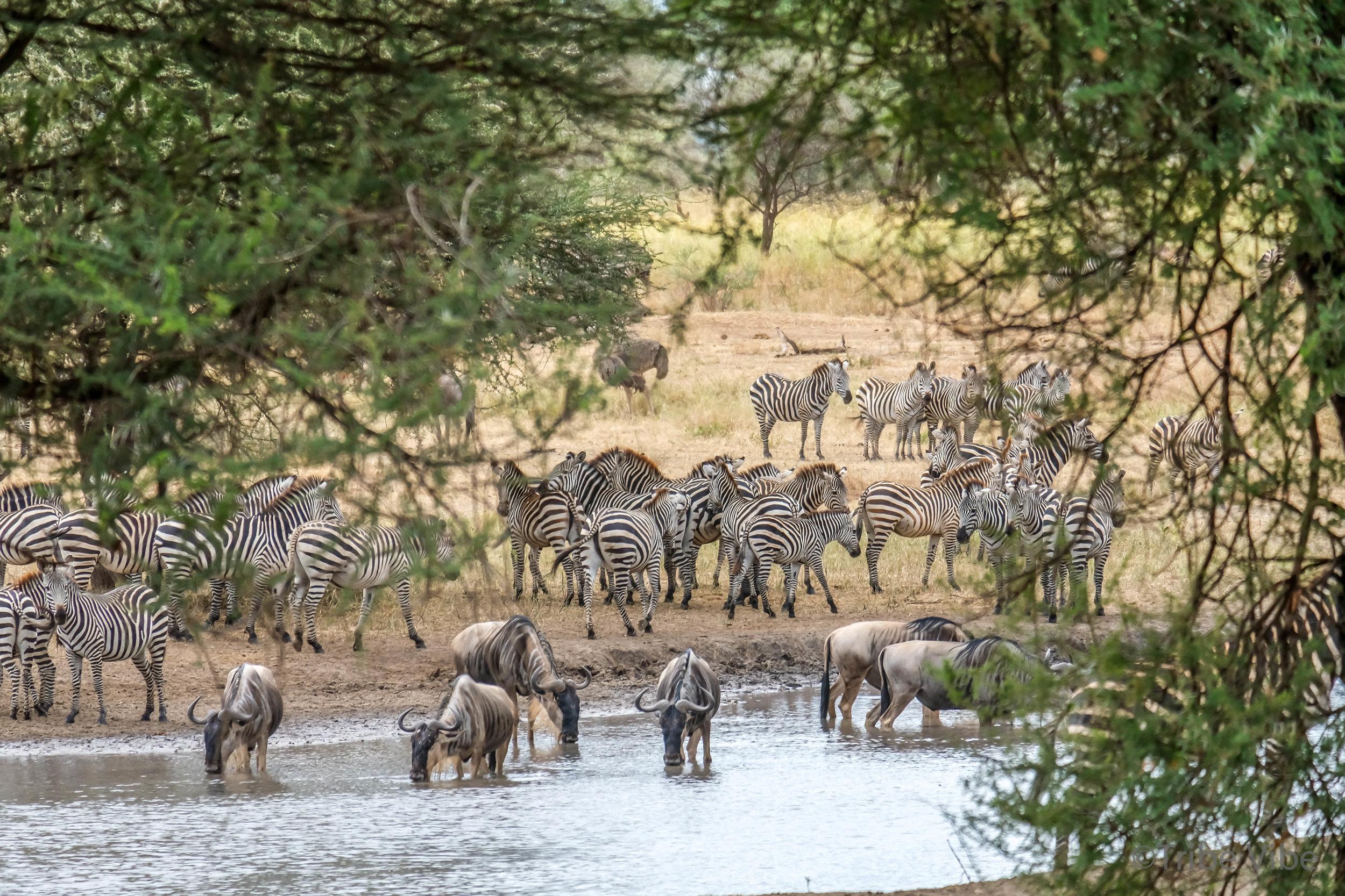 Tarangire zebra12.jpg