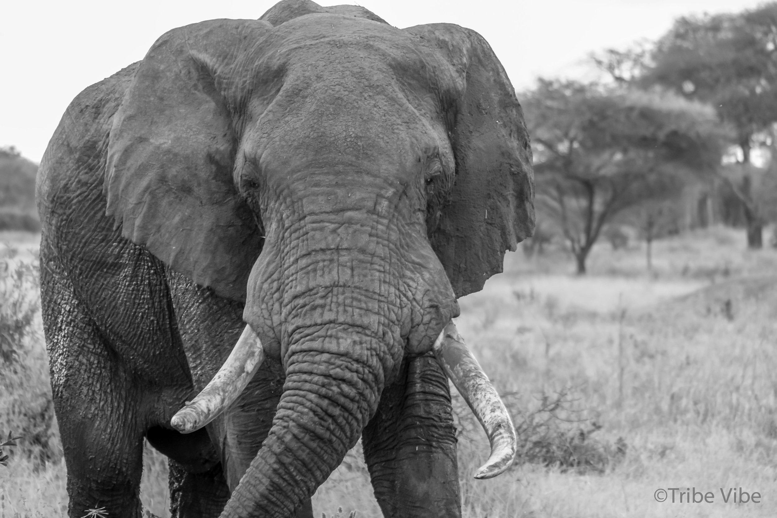 Tarangire elephant10.jpg
