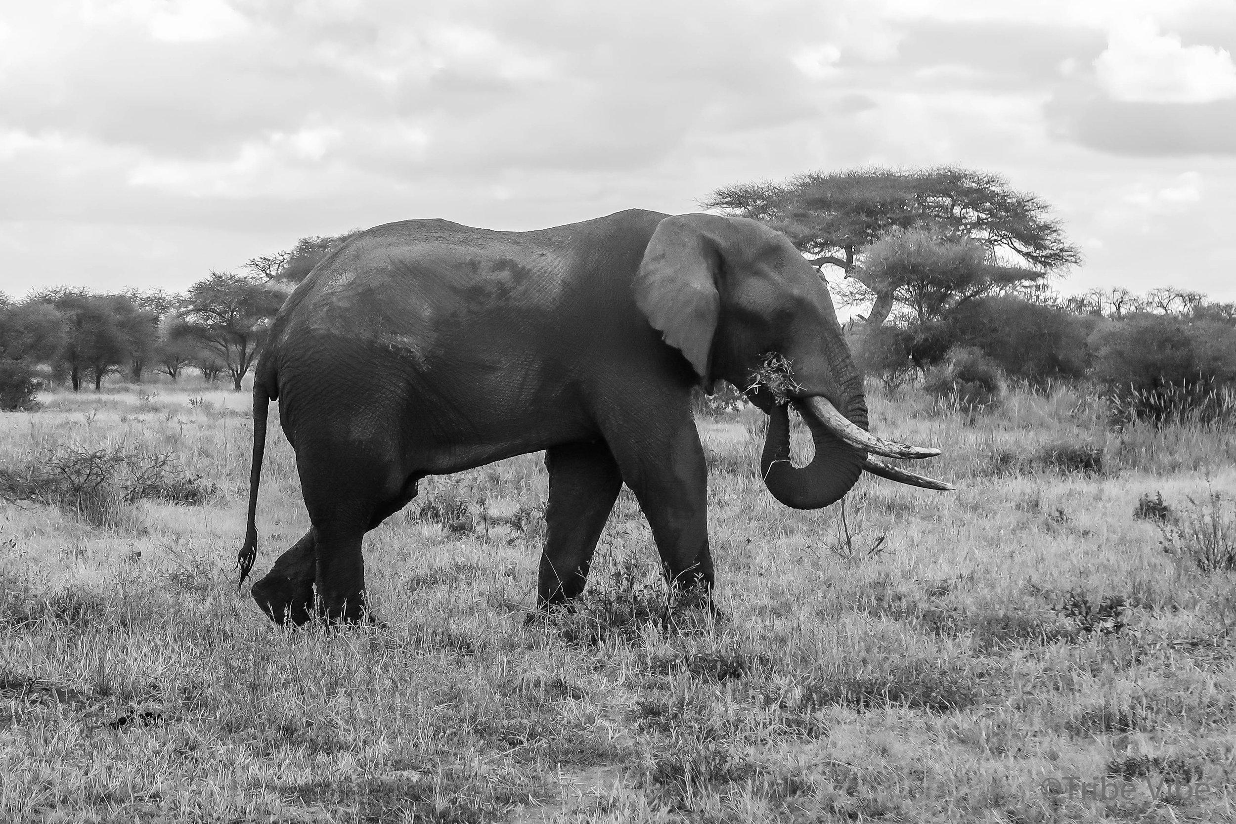 Tarangire elephant34.jpg