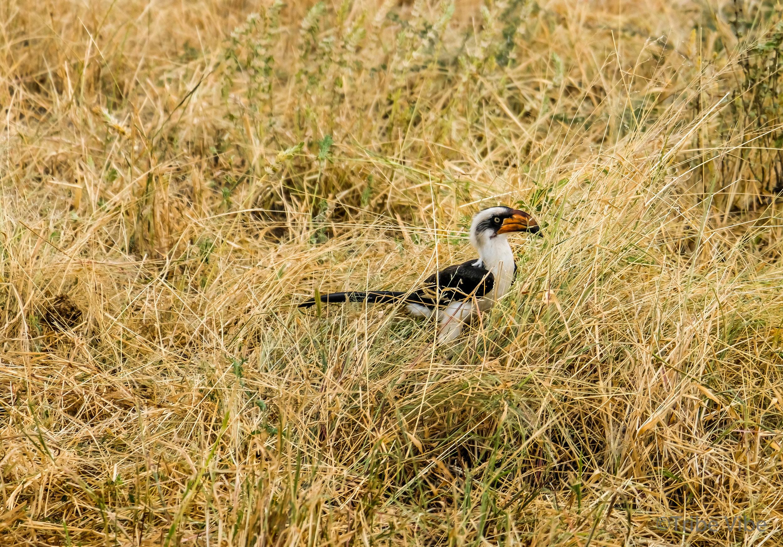 Tarangire bird7.jpg