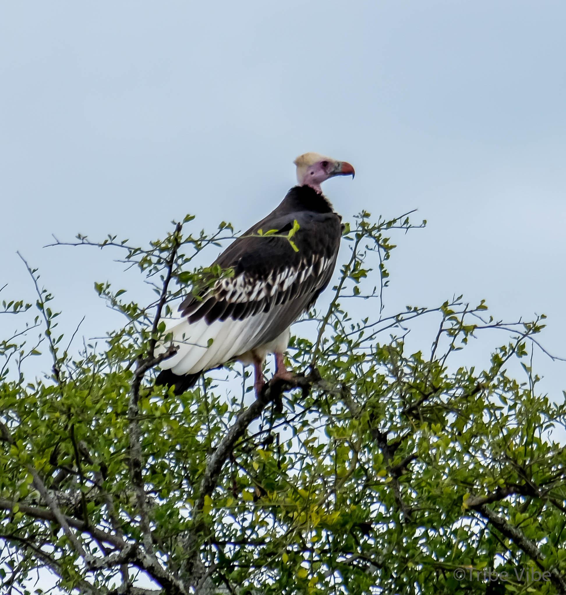 Tarangire bird6.jpg
