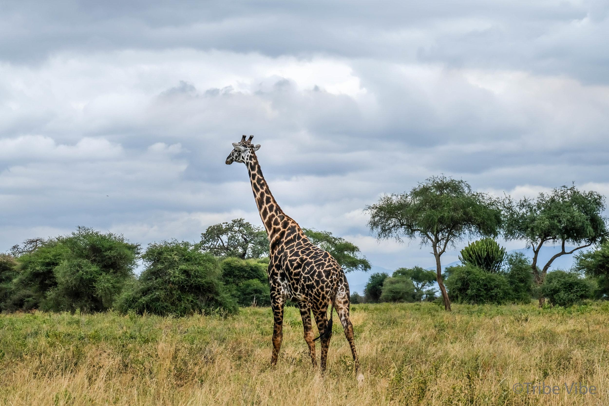 Tarangire Giraffe8.jpg