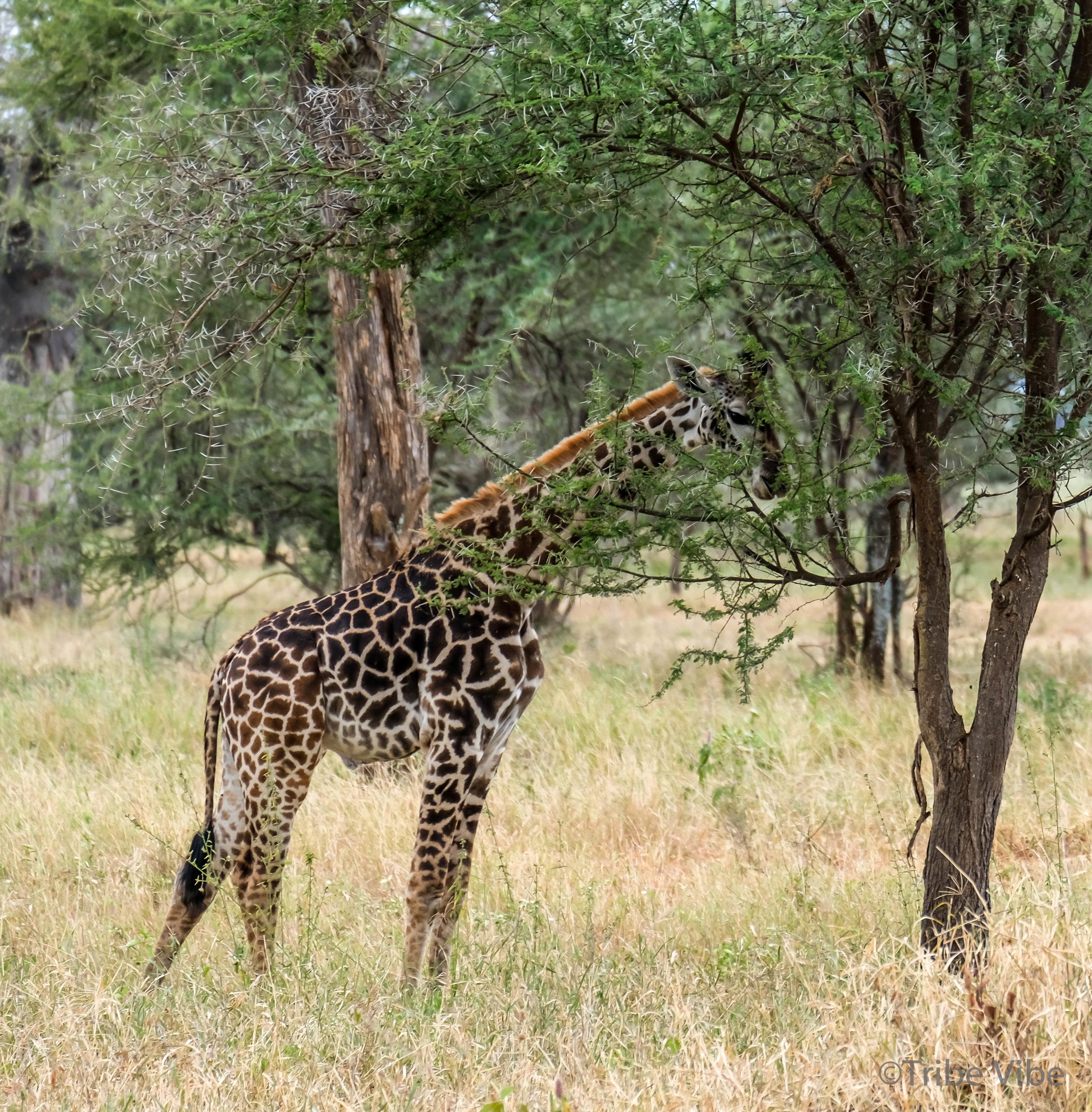 Tarangire Giraffe13.jpg