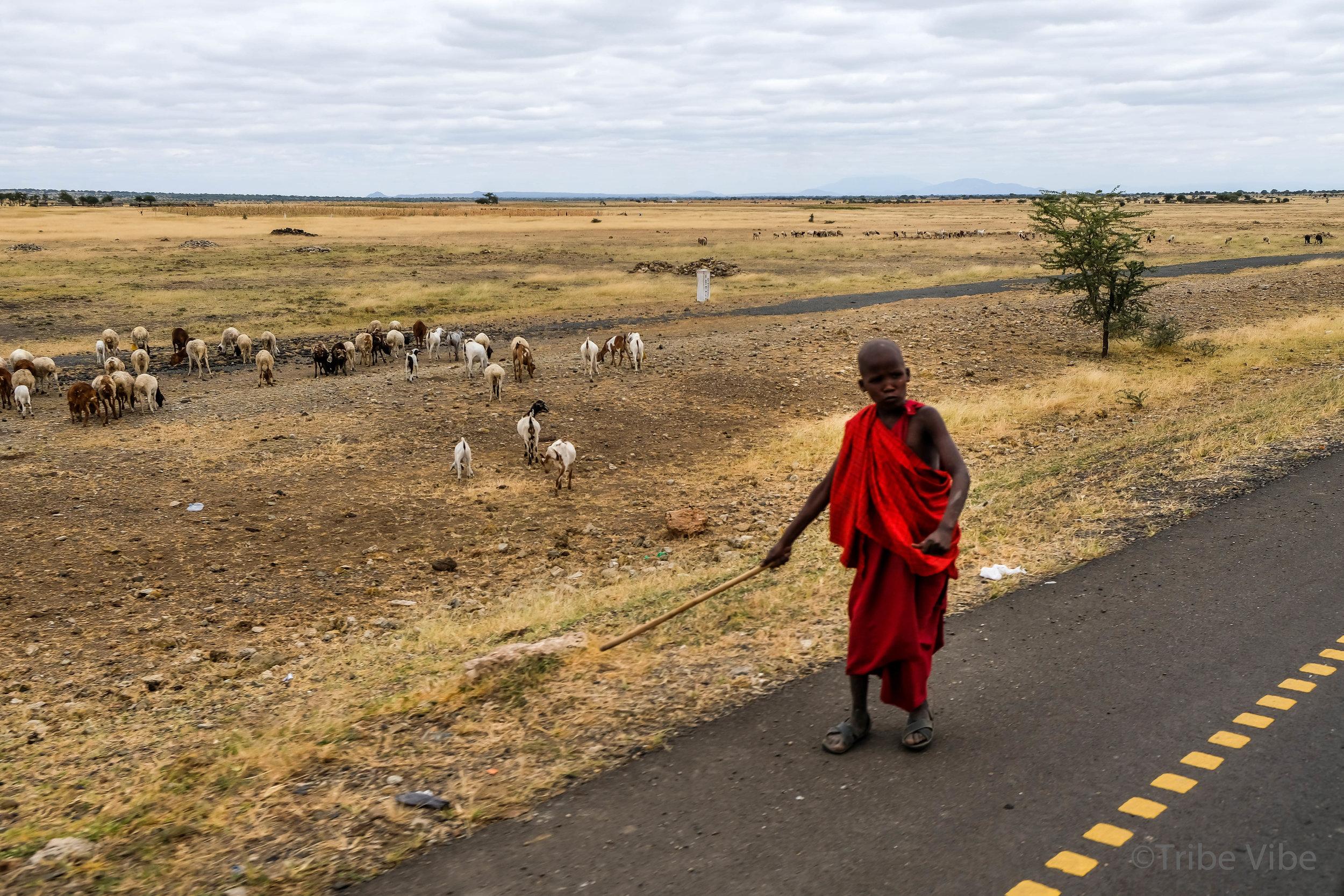 Masai boy with herd, Karatu, Tanzania.jpg