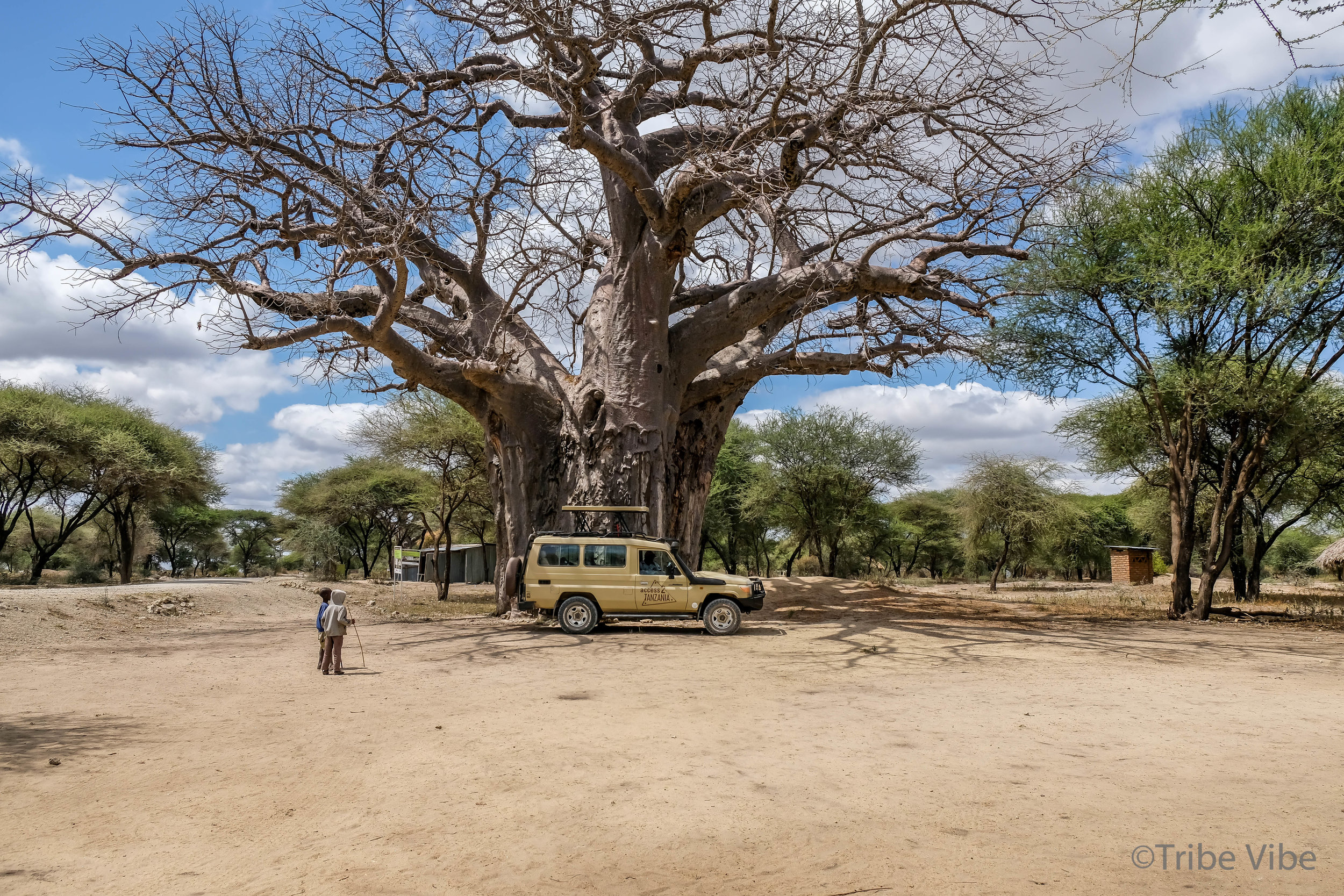 The massive Baobab tree at the entrance to our Masai Boma