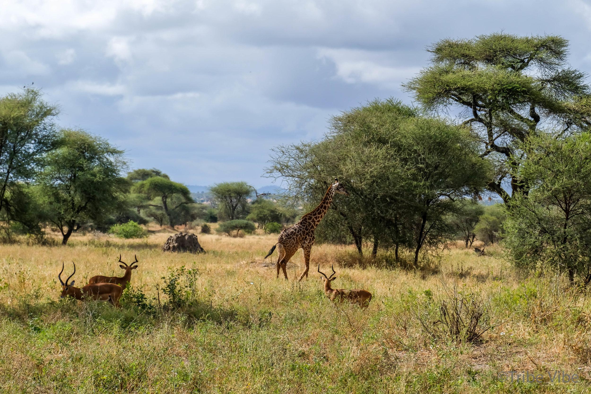 Tarangire giraffe3.jpg