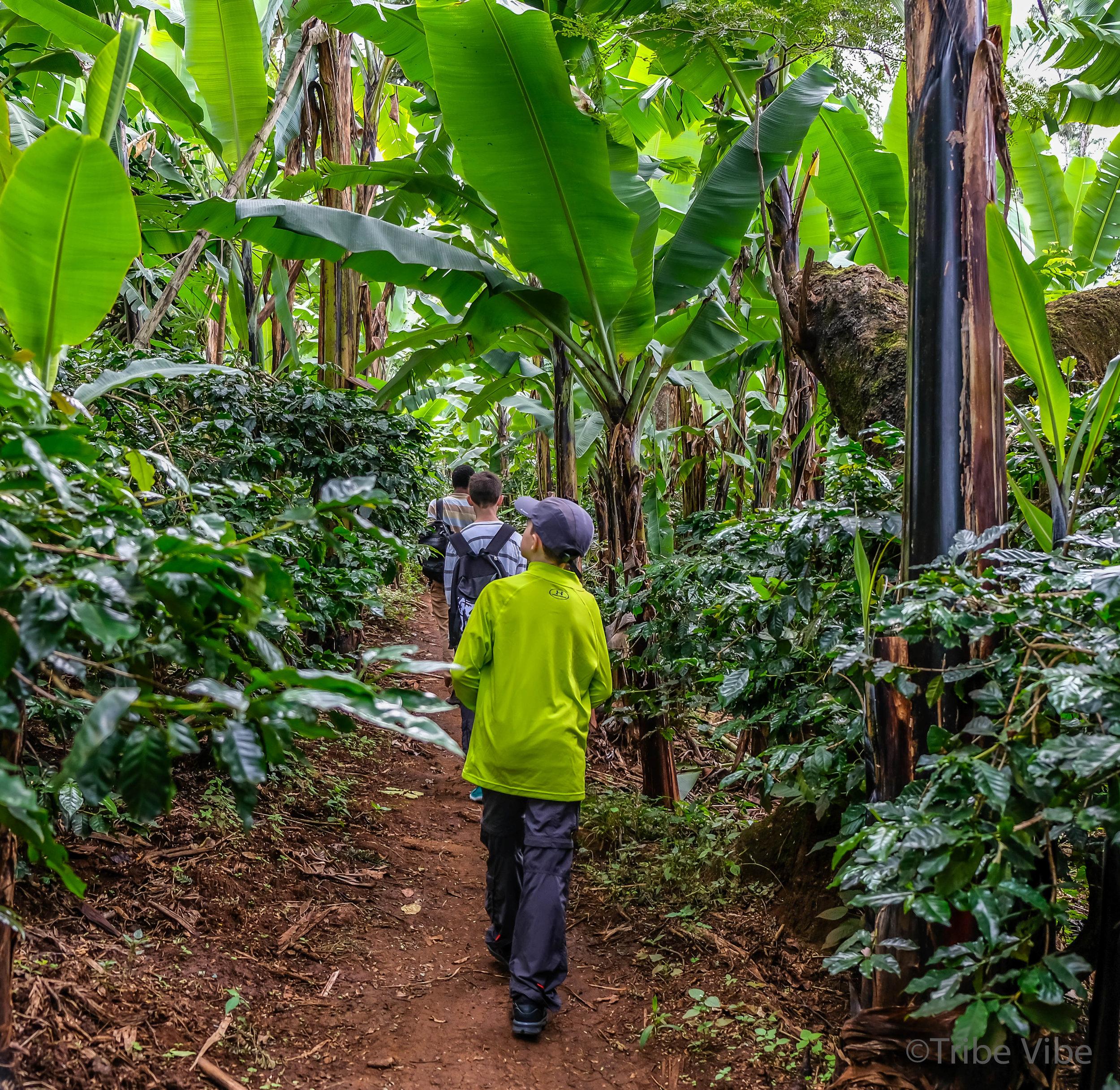 Machame walking trail 8, Kilimanjaro.jpg