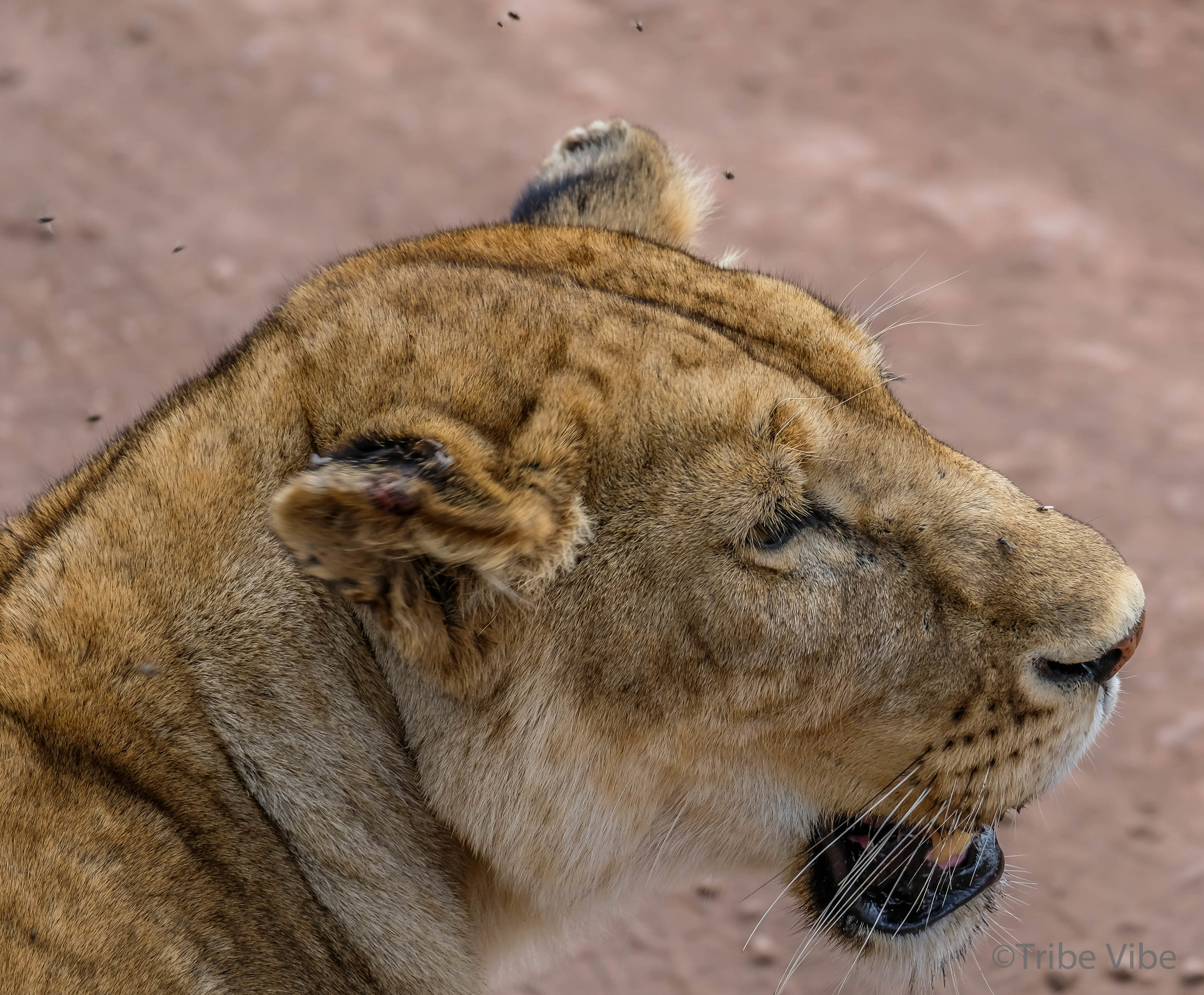 lion11.jpg