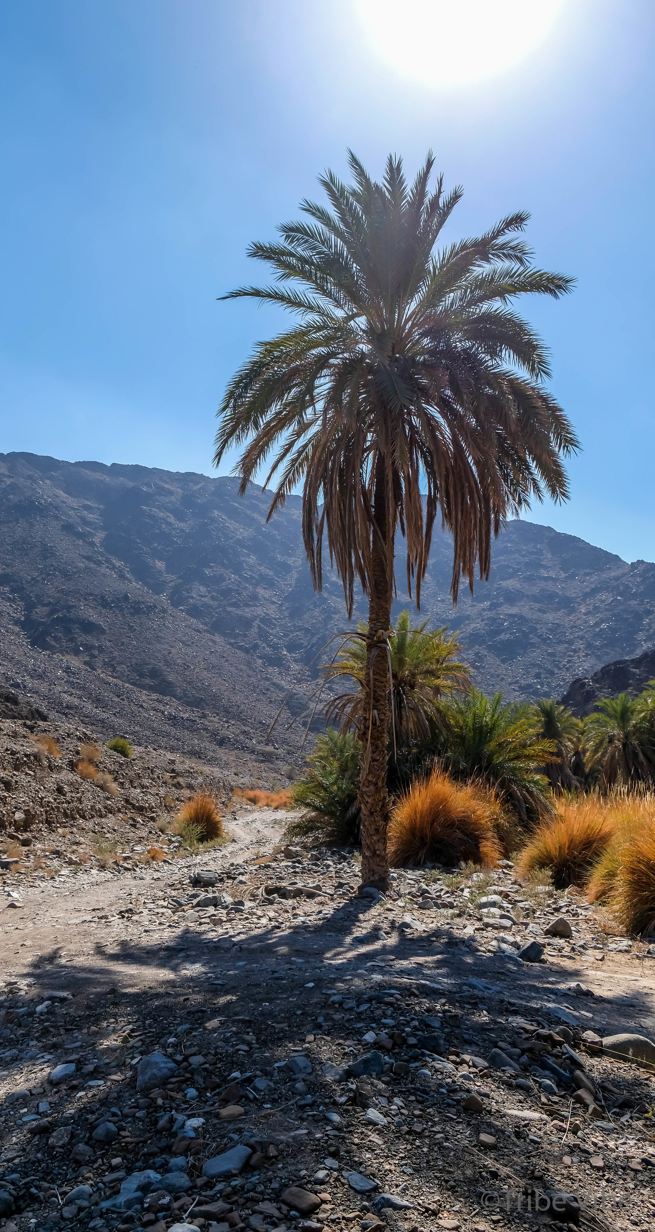 Beautiful Palms in the middle of a barren landscape