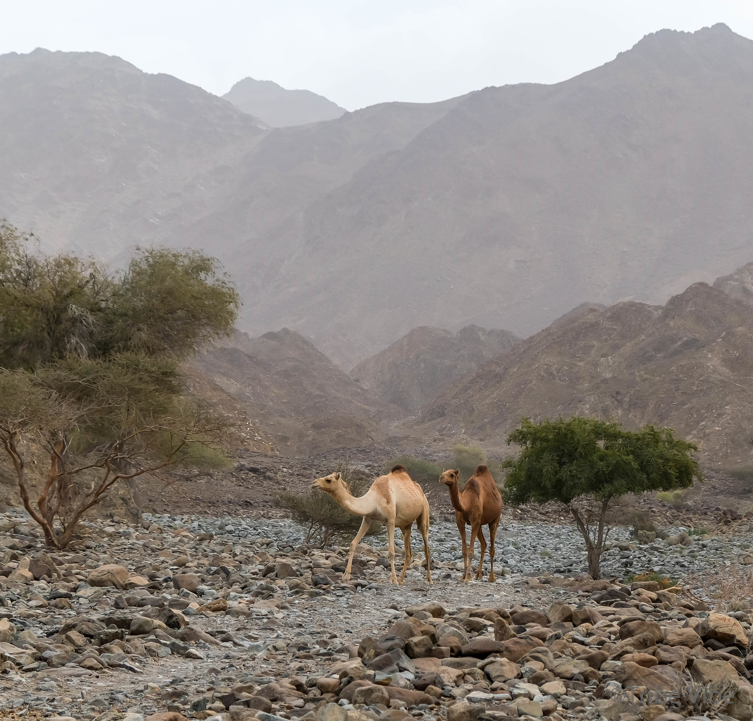 Camels walking freely down the wadi towards us. AMAZING!!