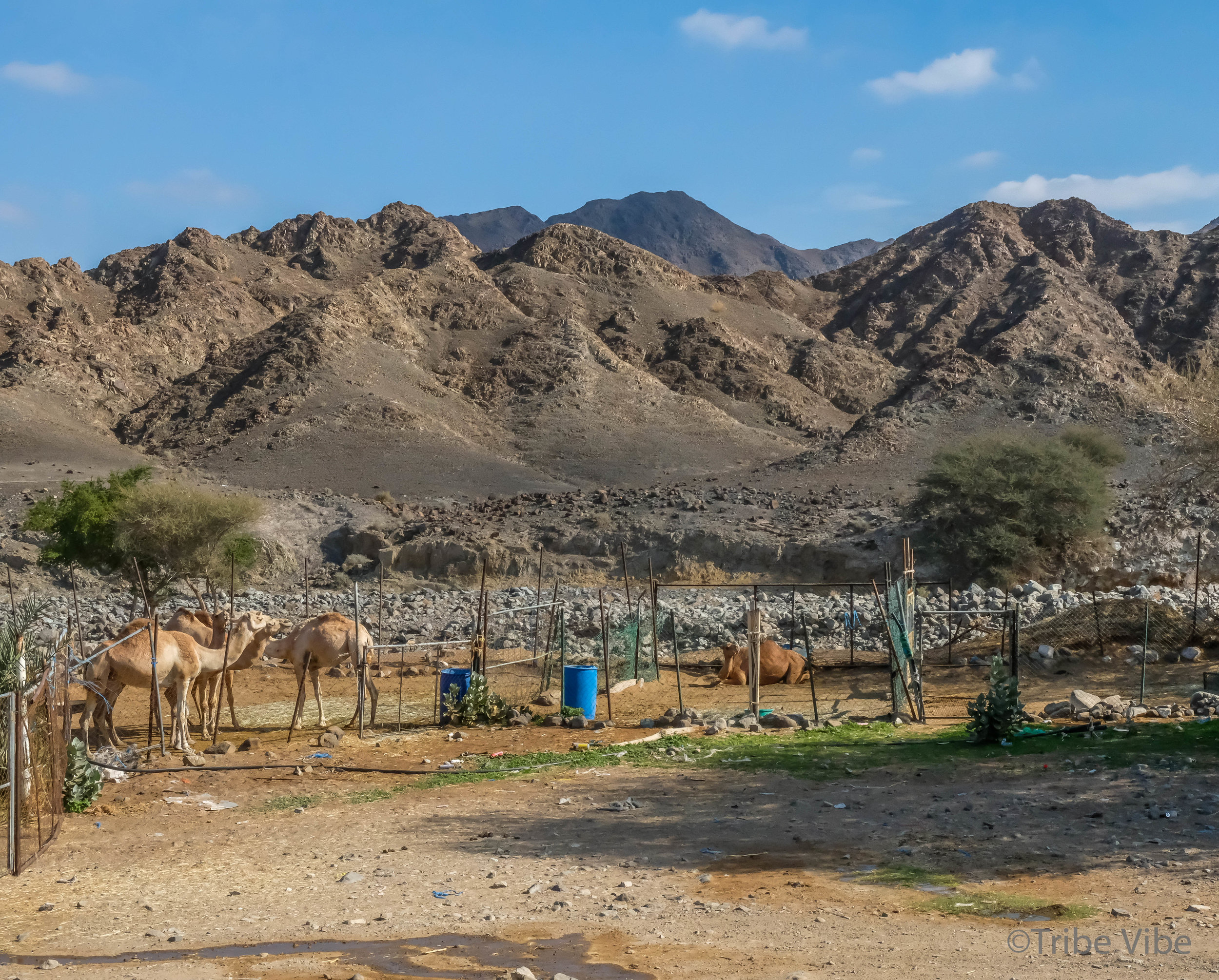camels at the camel farm. Hiking in the UAE34.jpg