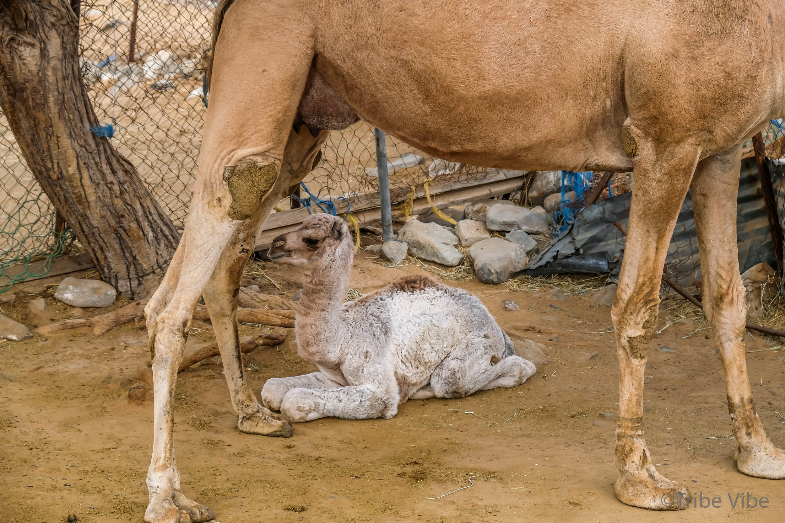 camels at the camel farm. Hiking in the UAE18.jpg