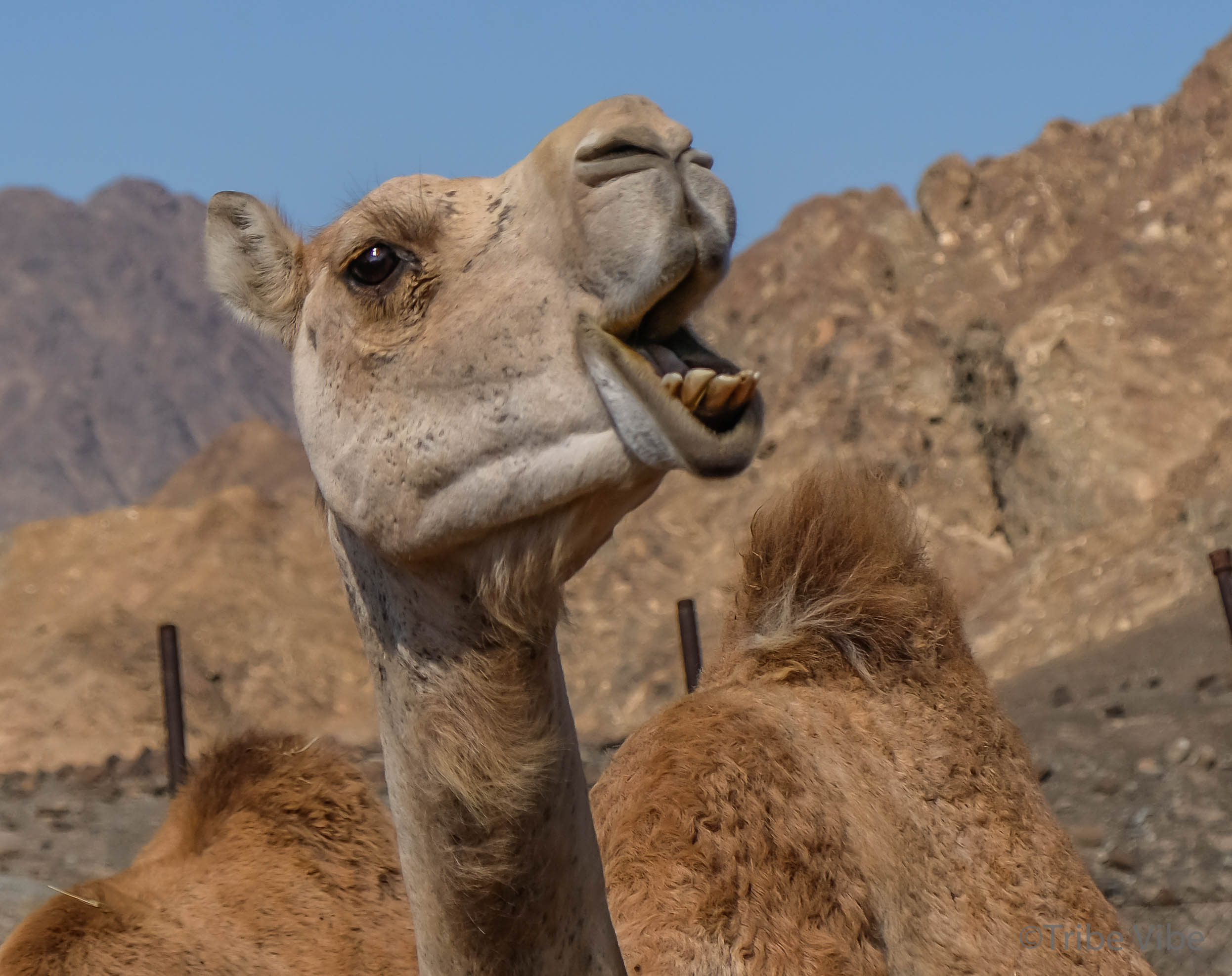camels at the camel farm. Hiking in the UAE40.jpg