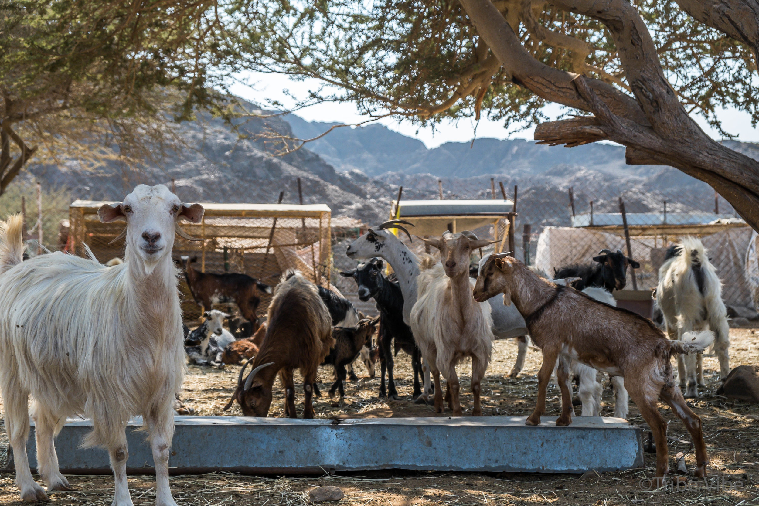 goats at the camel farm. Hiking in the UAE4.jpg