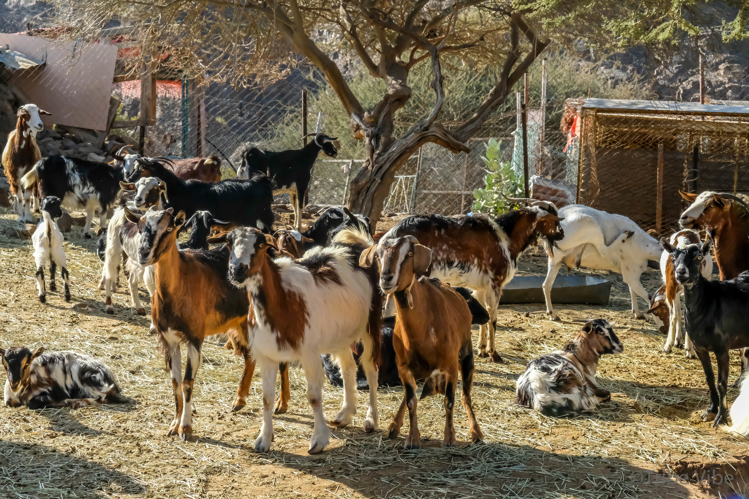 goats at the camel farm. Hiking in the UAE8.jpg