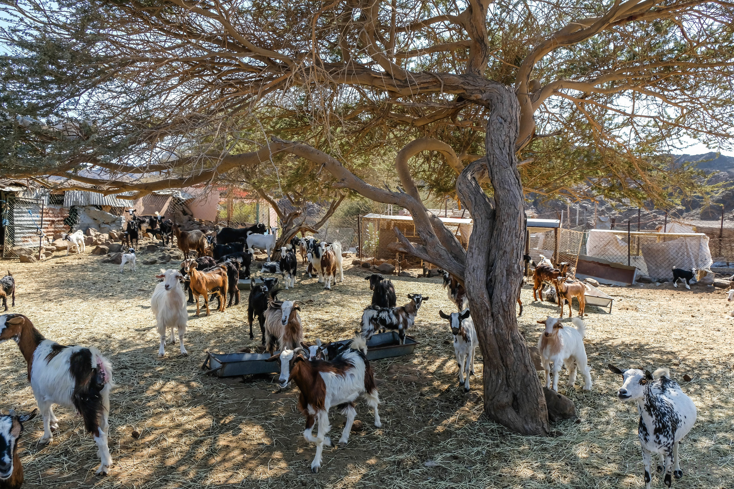goats at the camel farm. Hiking in the UAE12.jpg