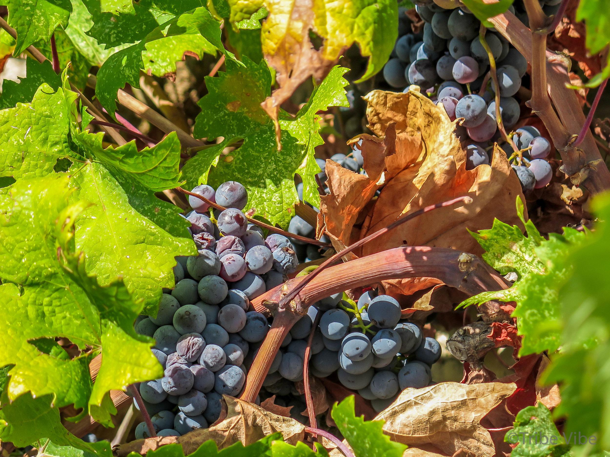 Croatian vineyards28.jpg