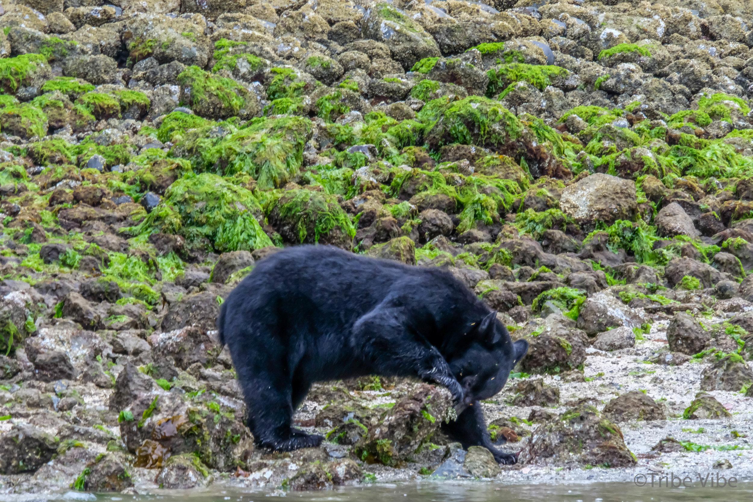 tofino bears8.jpg