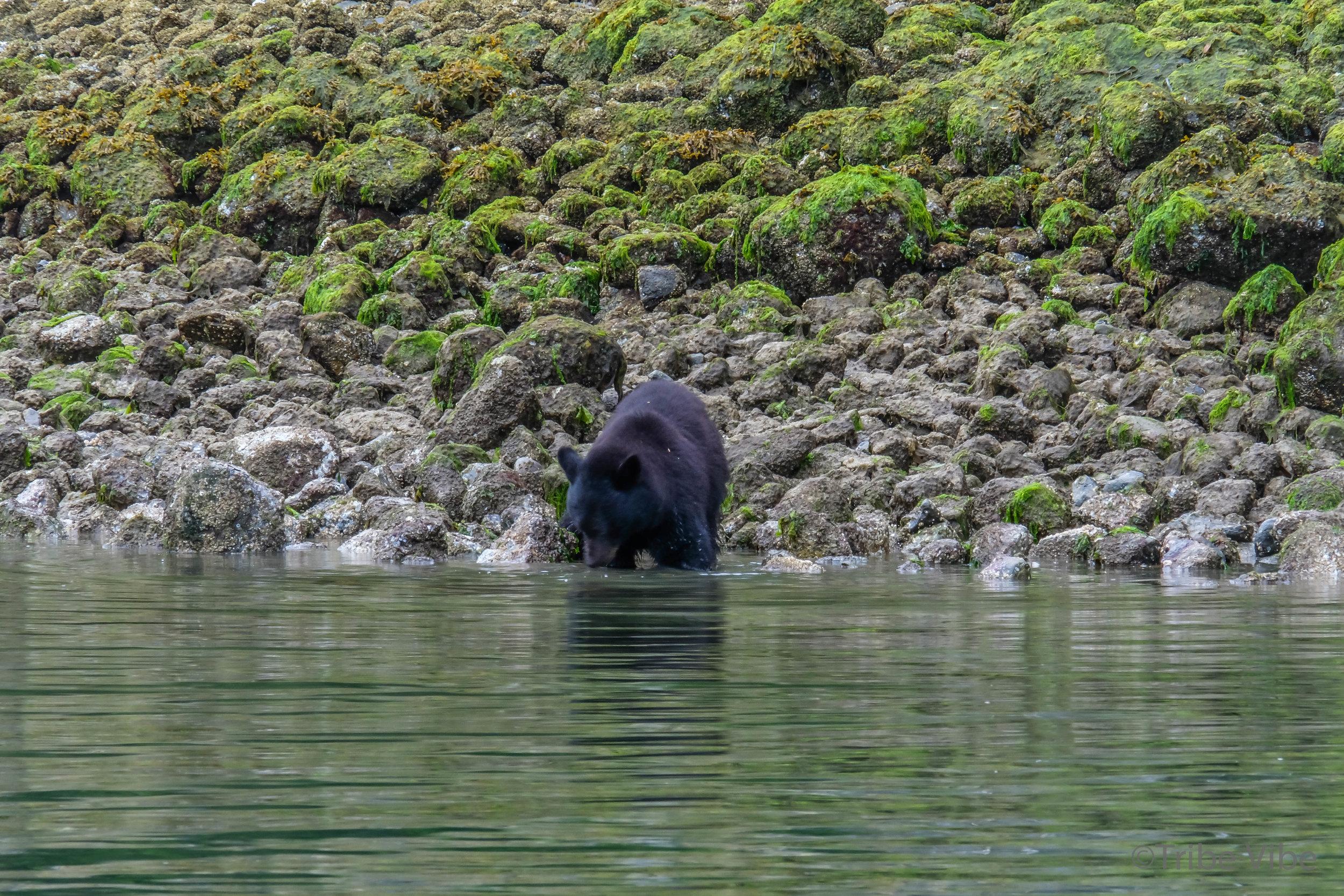 tofino bears14.jpg